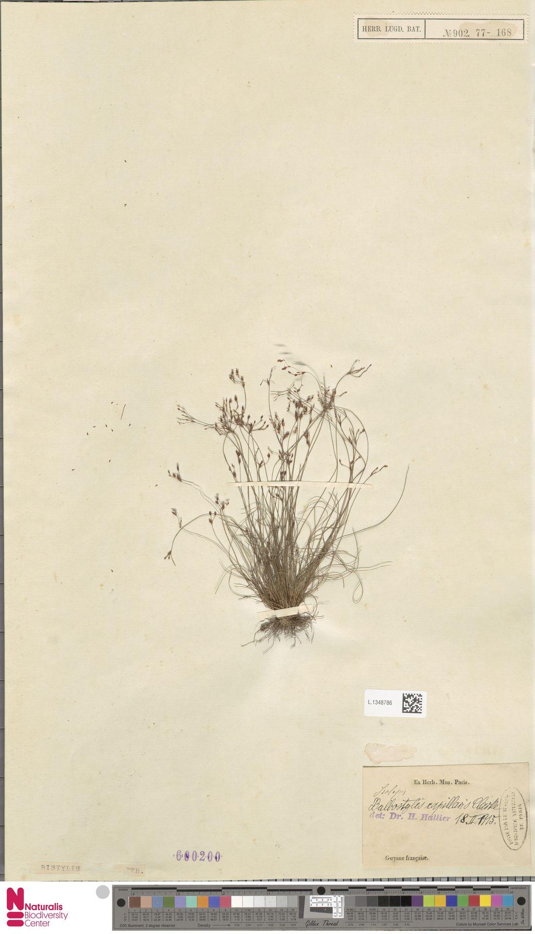 L.1348786 | Bulbostylis capillaris (L.) Kunth ex C.B.Clarke