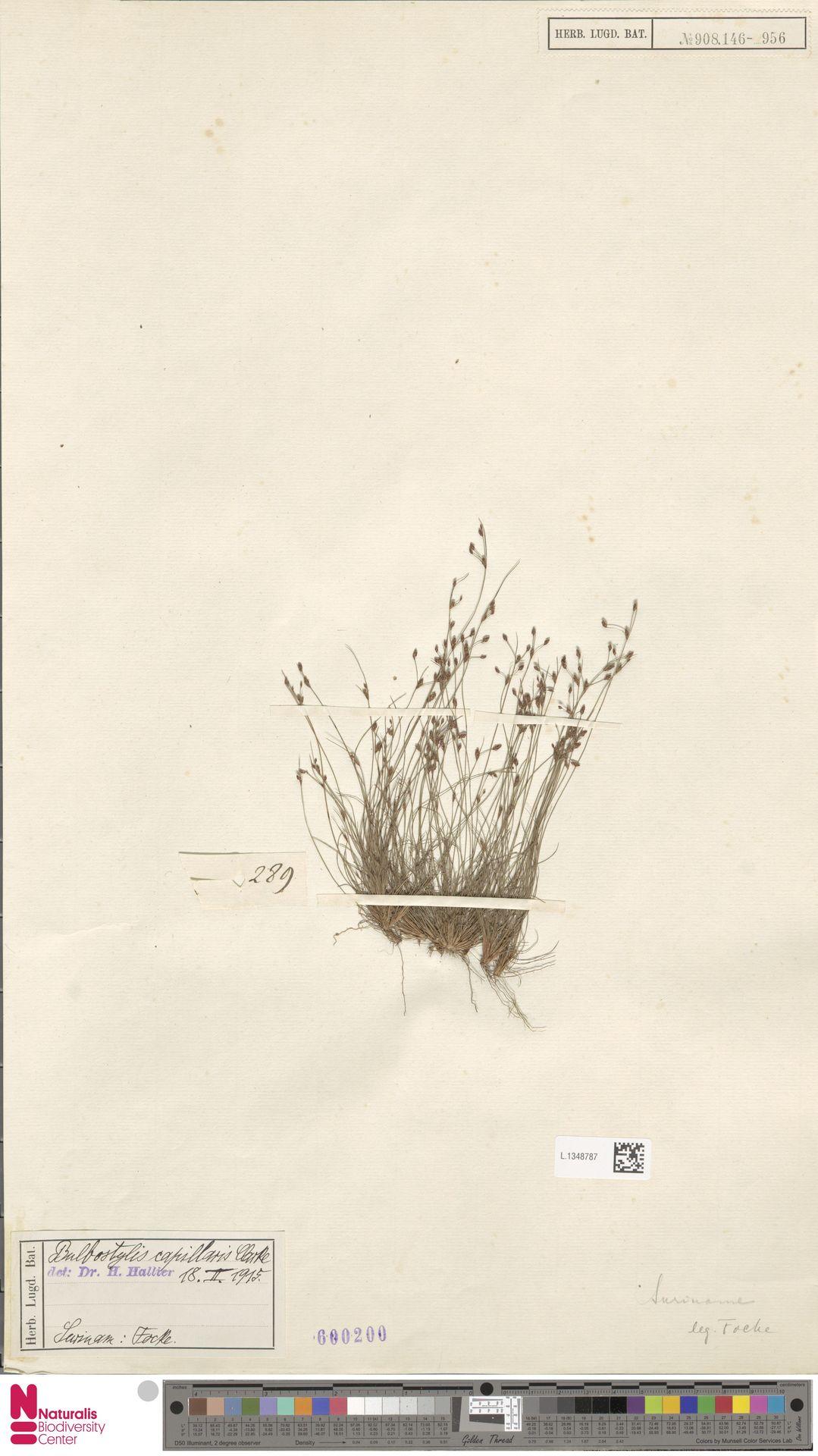 L.1348787 | Bulbostylis capillaris (L.) Kunth ex C.B.Clarke