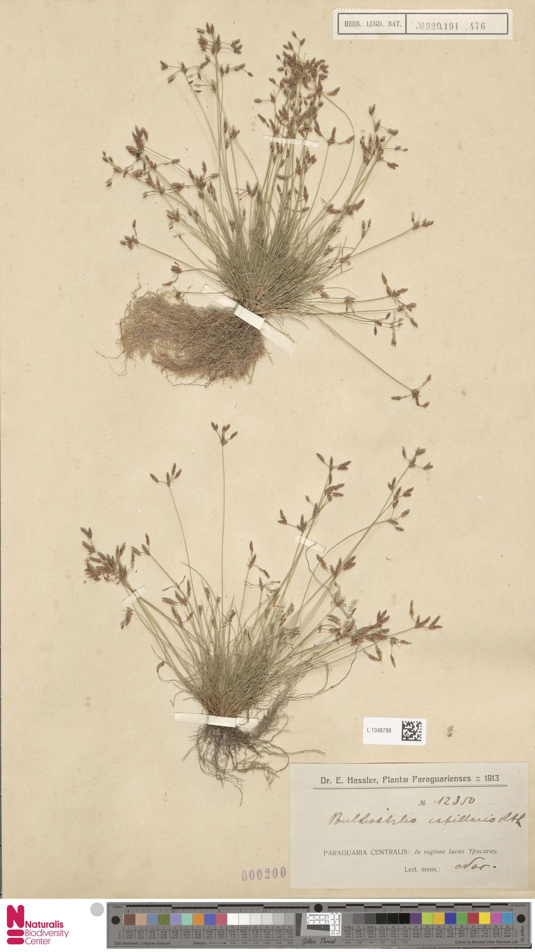 L.1348788 | Bulbostylis capillaris (L.) Kunth ex C.B.Clarke