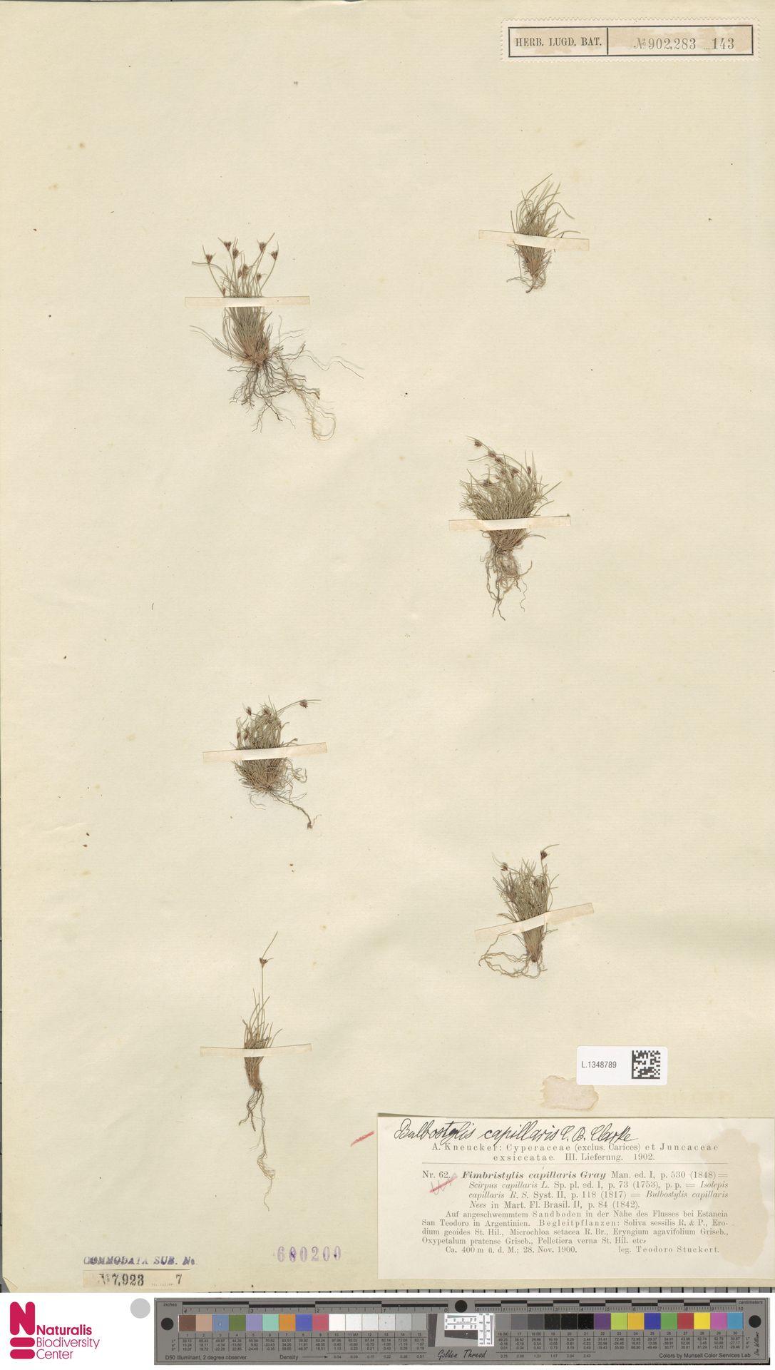 L.1348789 | Bulbostylis capillaris (L.) Kunth ex C.B.Clarke