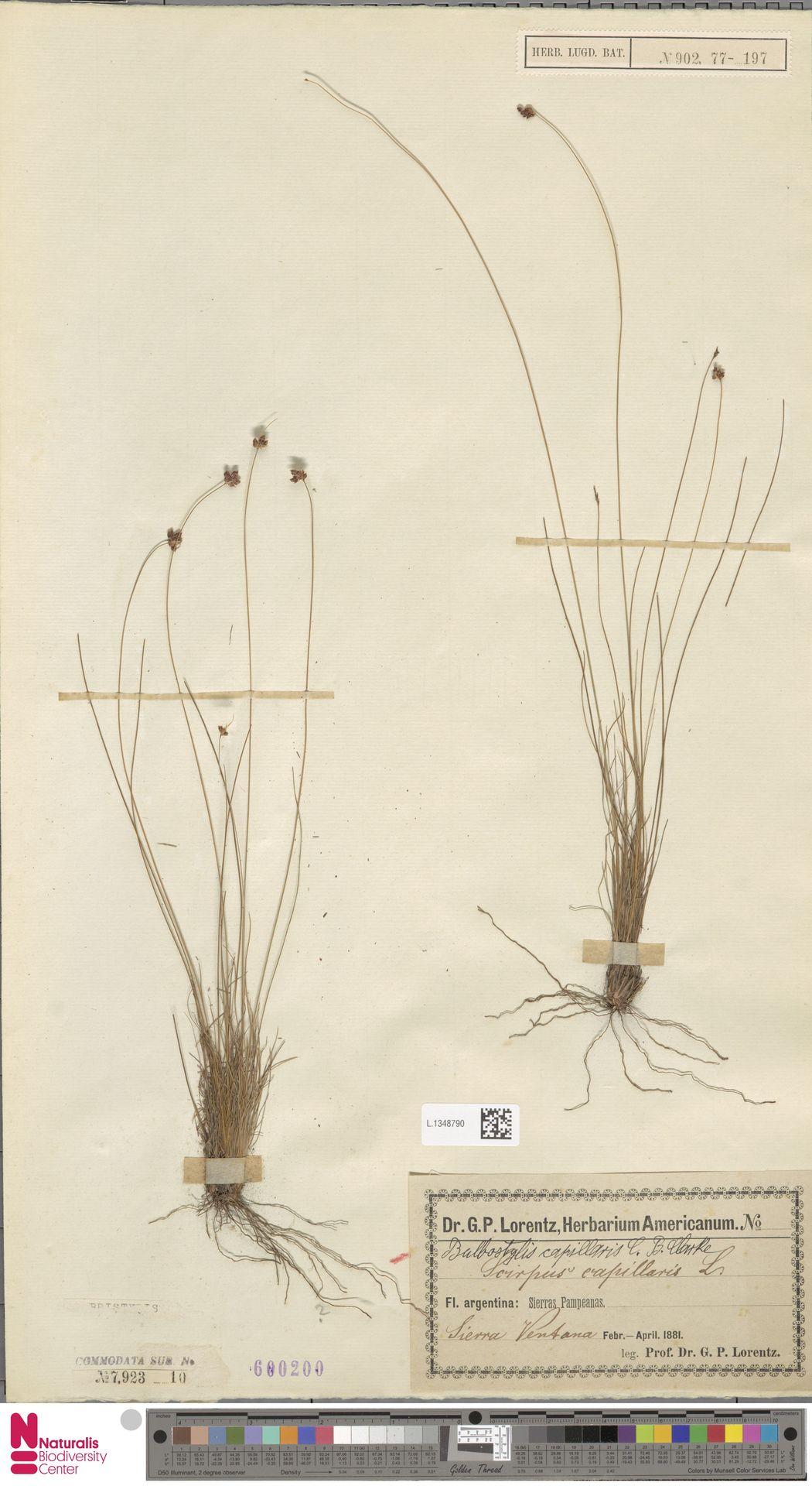 L.1348790 | Bulbostylis capillaris (L.) Kunth ex C.B.Clarke