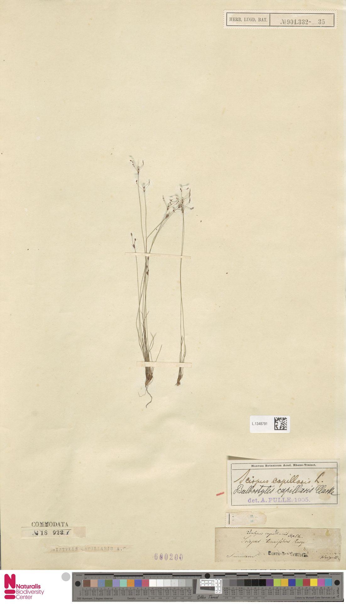 L.1348791 | Bulbostylis capillaris (L.) Kunth ex C.B.Clarke