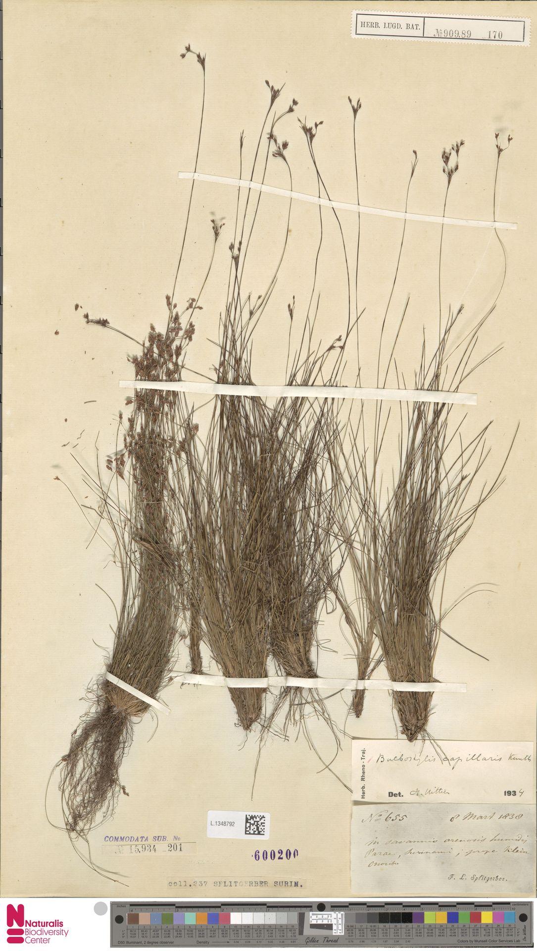 L.1348792 | Bulbostylis capillaris (L.) Kunth ex C.B.Clarke