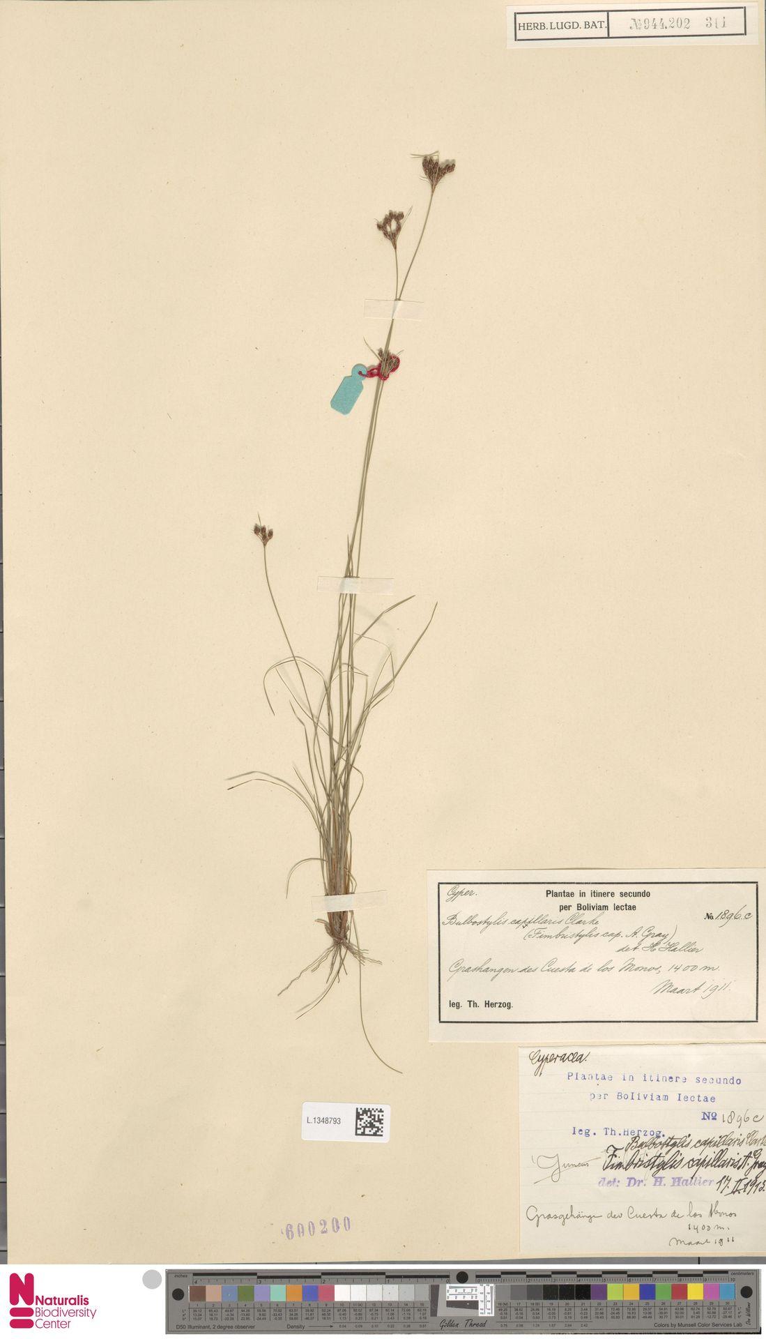 L.1348793 | Bulbostylis capillaris (L.) Kunth ex C.B.Clarke