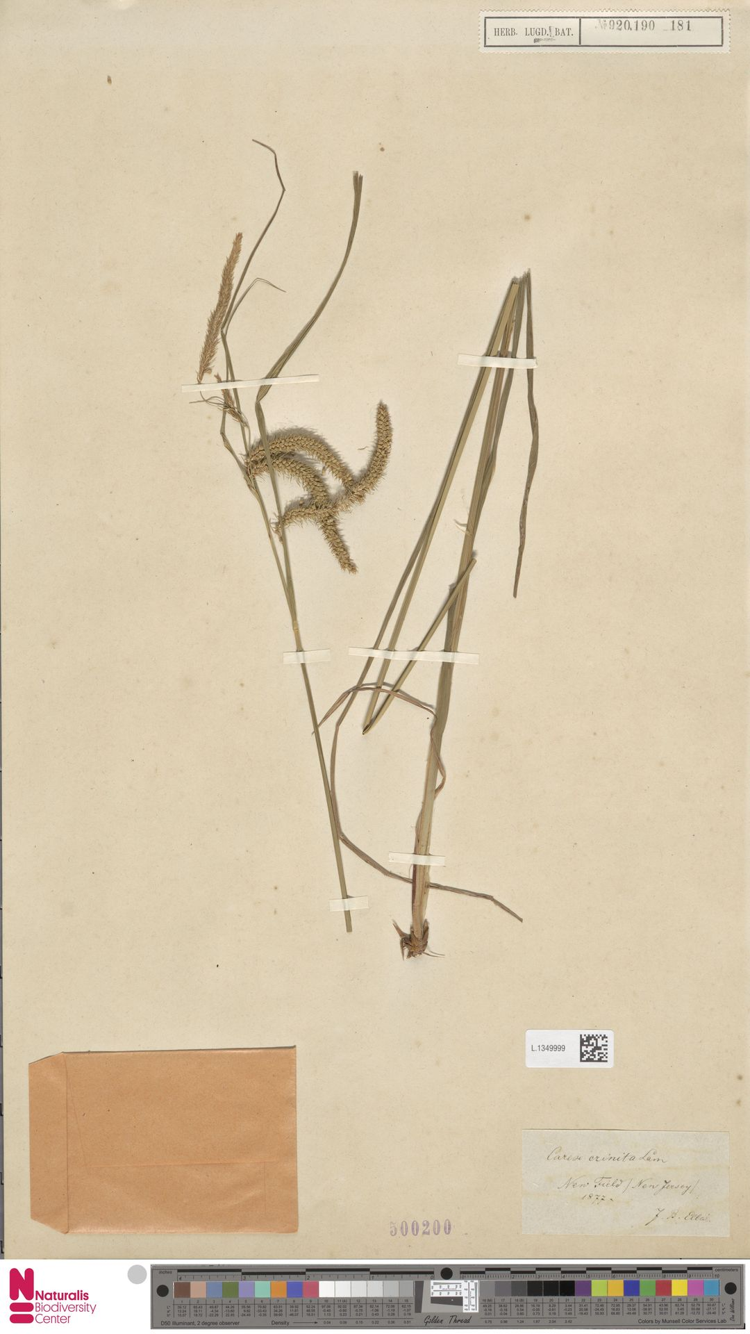 L.1349999 | Carex crinita Lam.