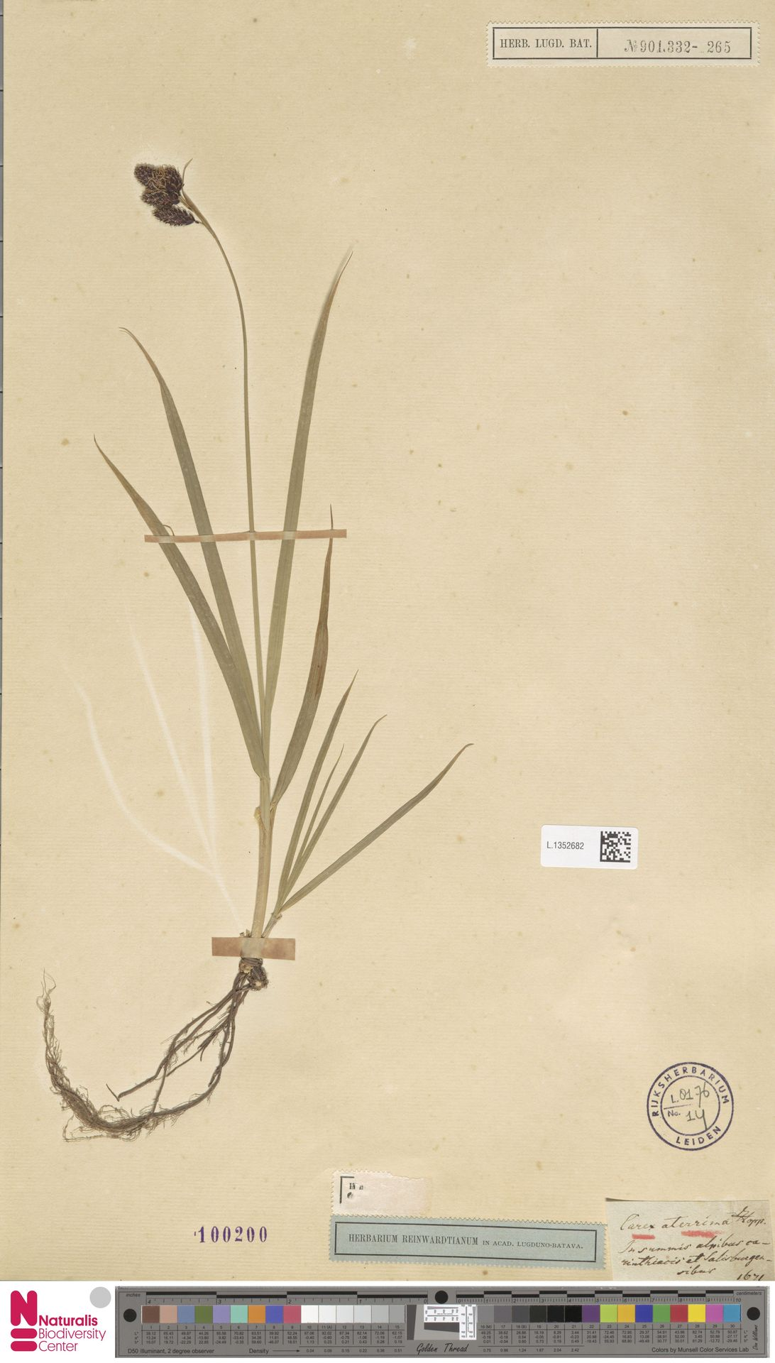 L.1352682 | Carex curvula All.