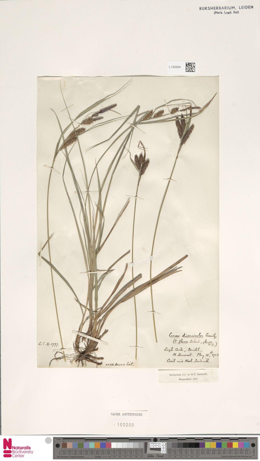 L.1353534 | Carex acutiformis Ehrh.