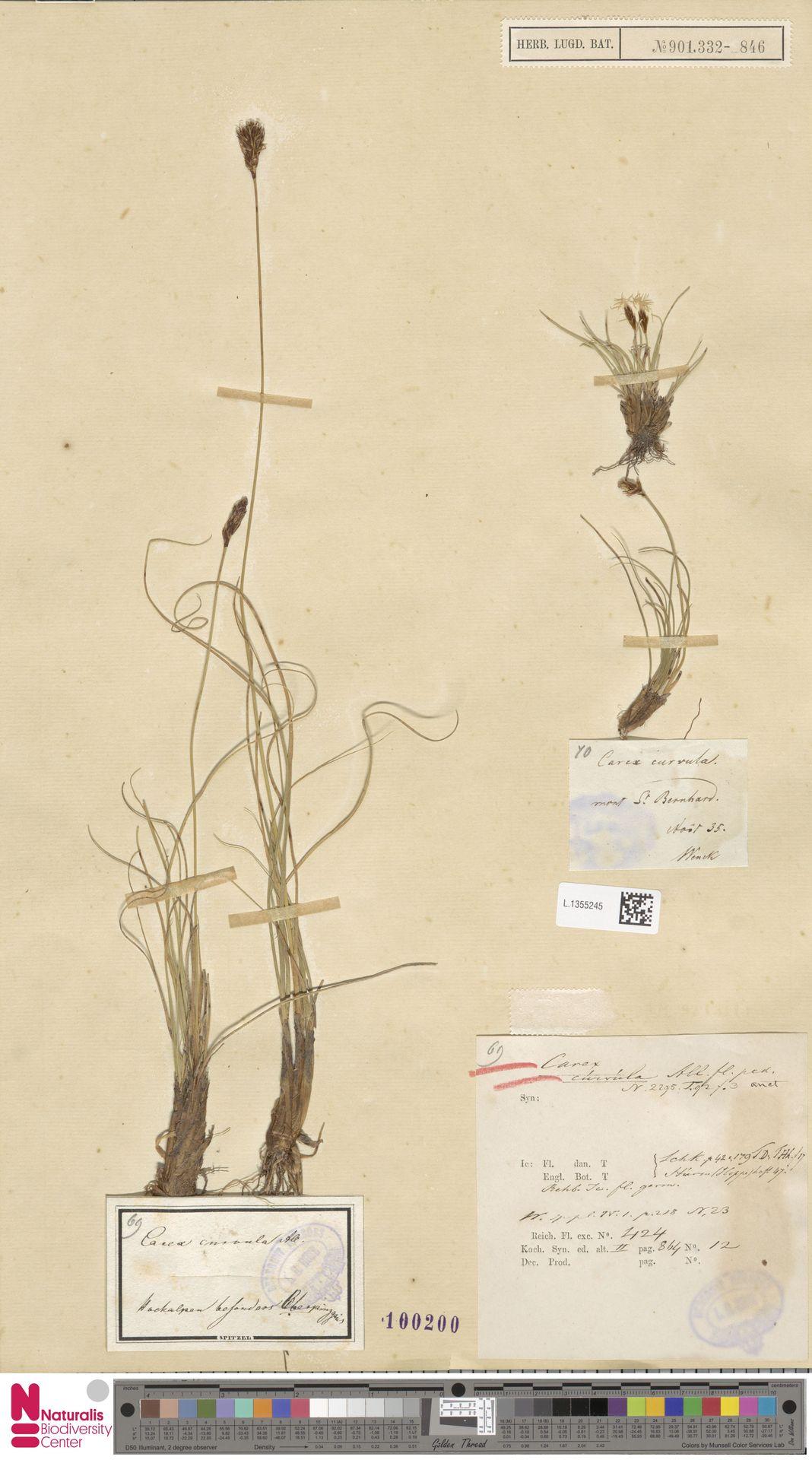 L.1355245 | Carex curvula All.