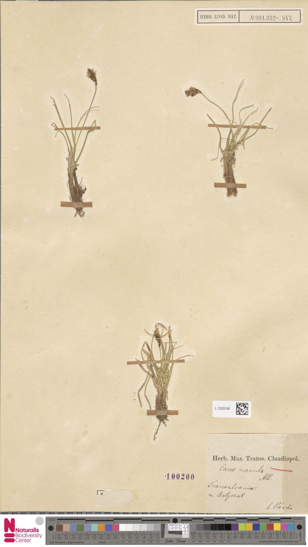 L.1355246 | Carex curvula All.