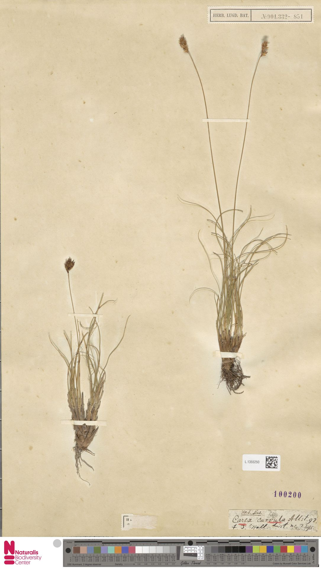 L.1355250 | Carex curvula All.