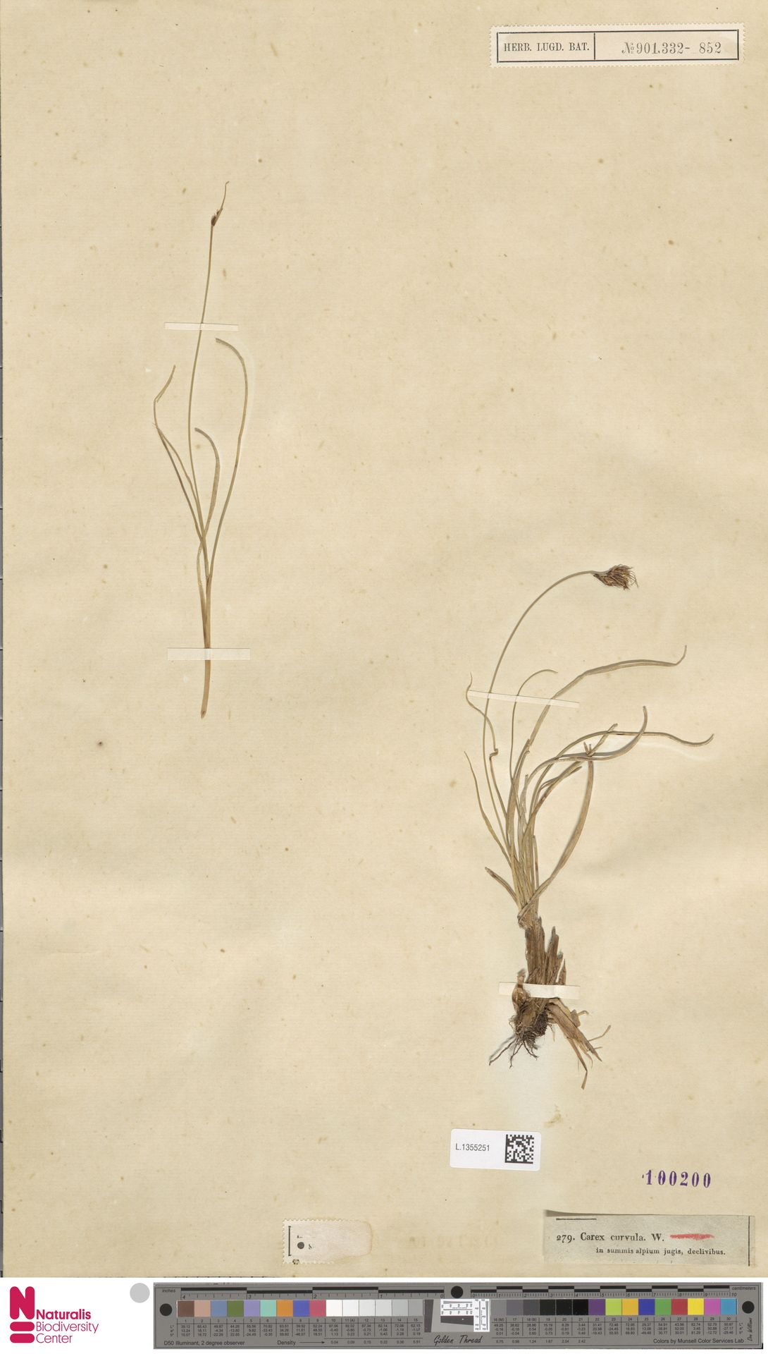 L.1355251 | Carex curvula All.