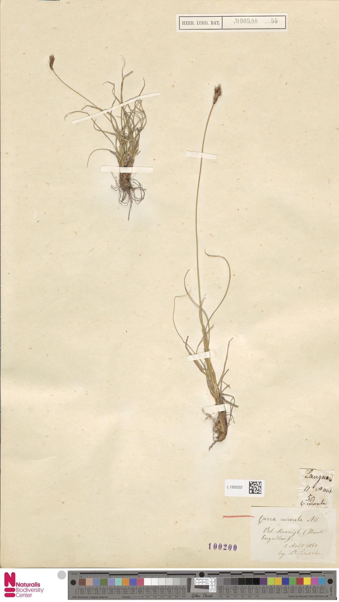 L.1355252 | Carex curvula All.