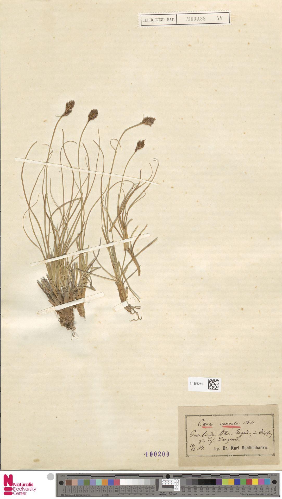 L.1355254 | Carex curvula All.
