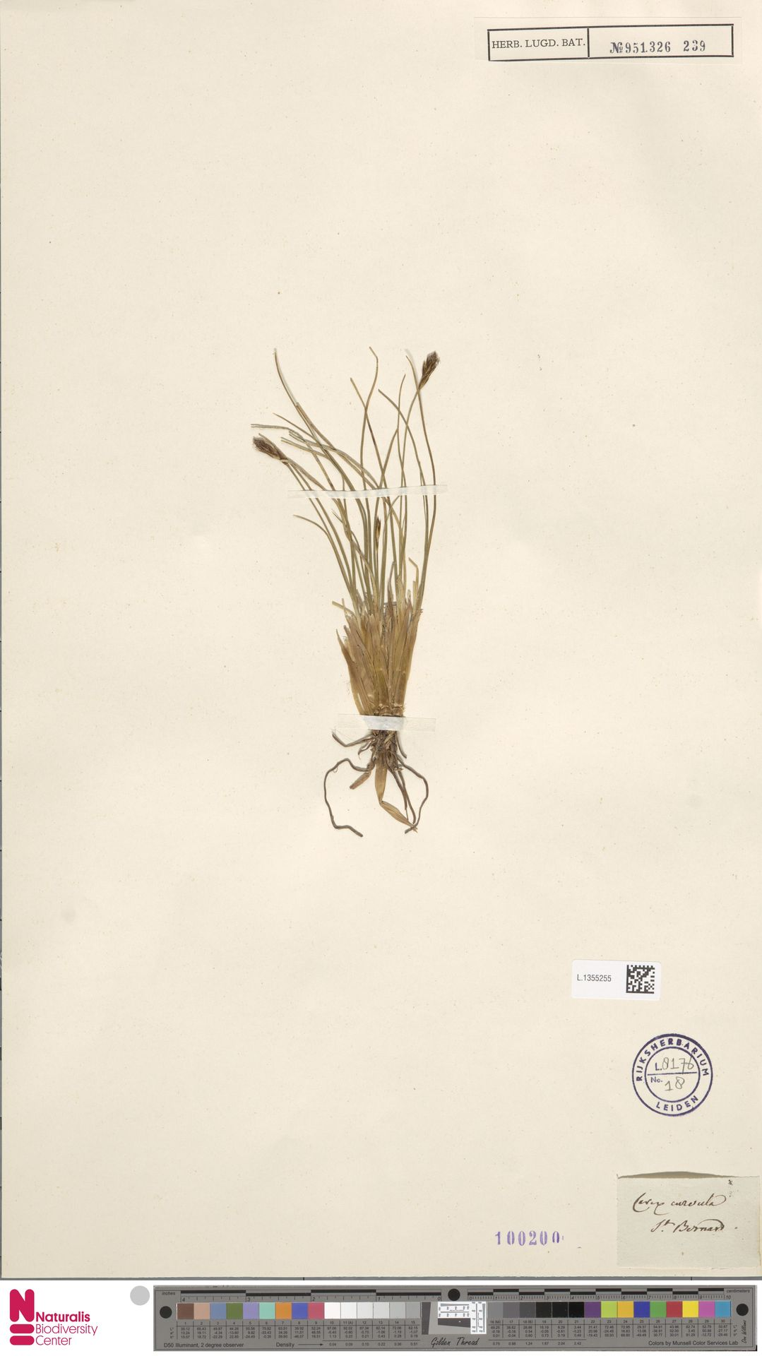 L.1355255 | Carex curvula All.