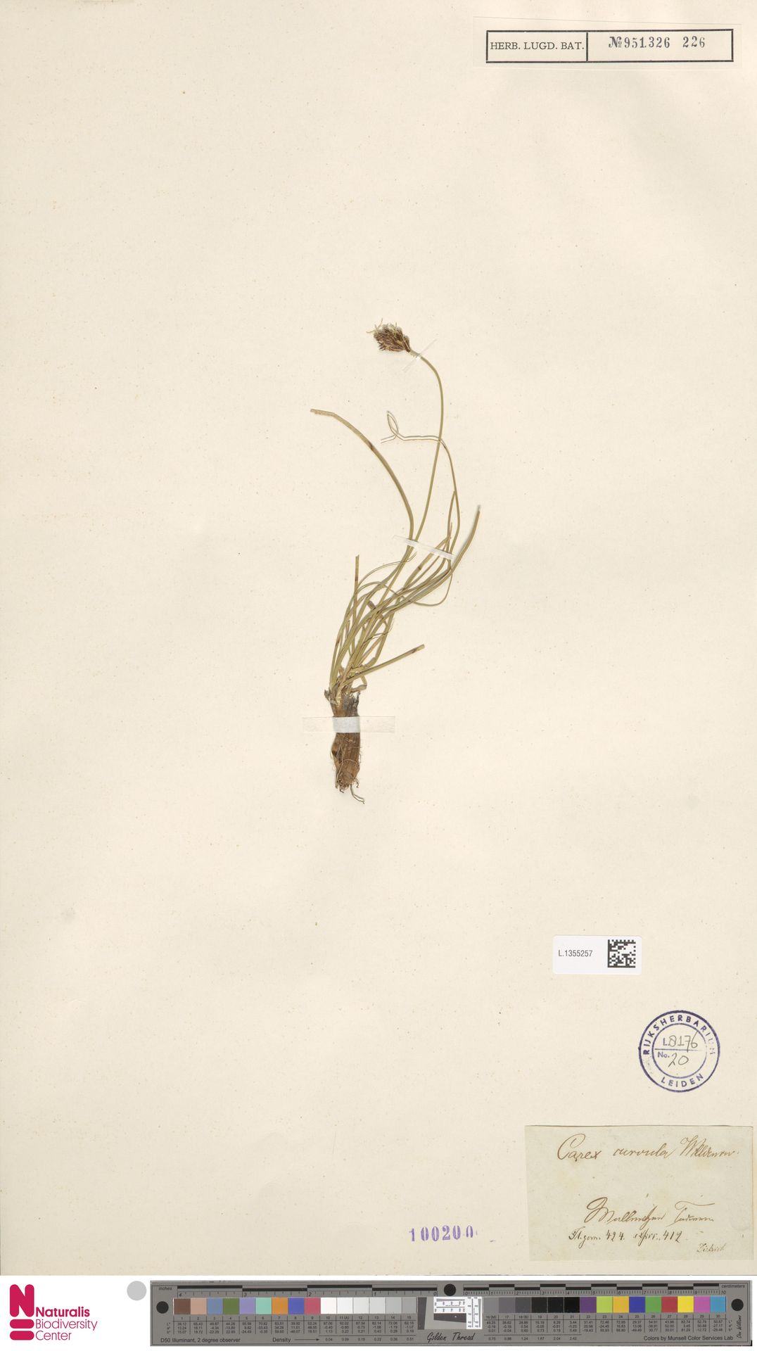 L.1355257 | Carex curvula All.