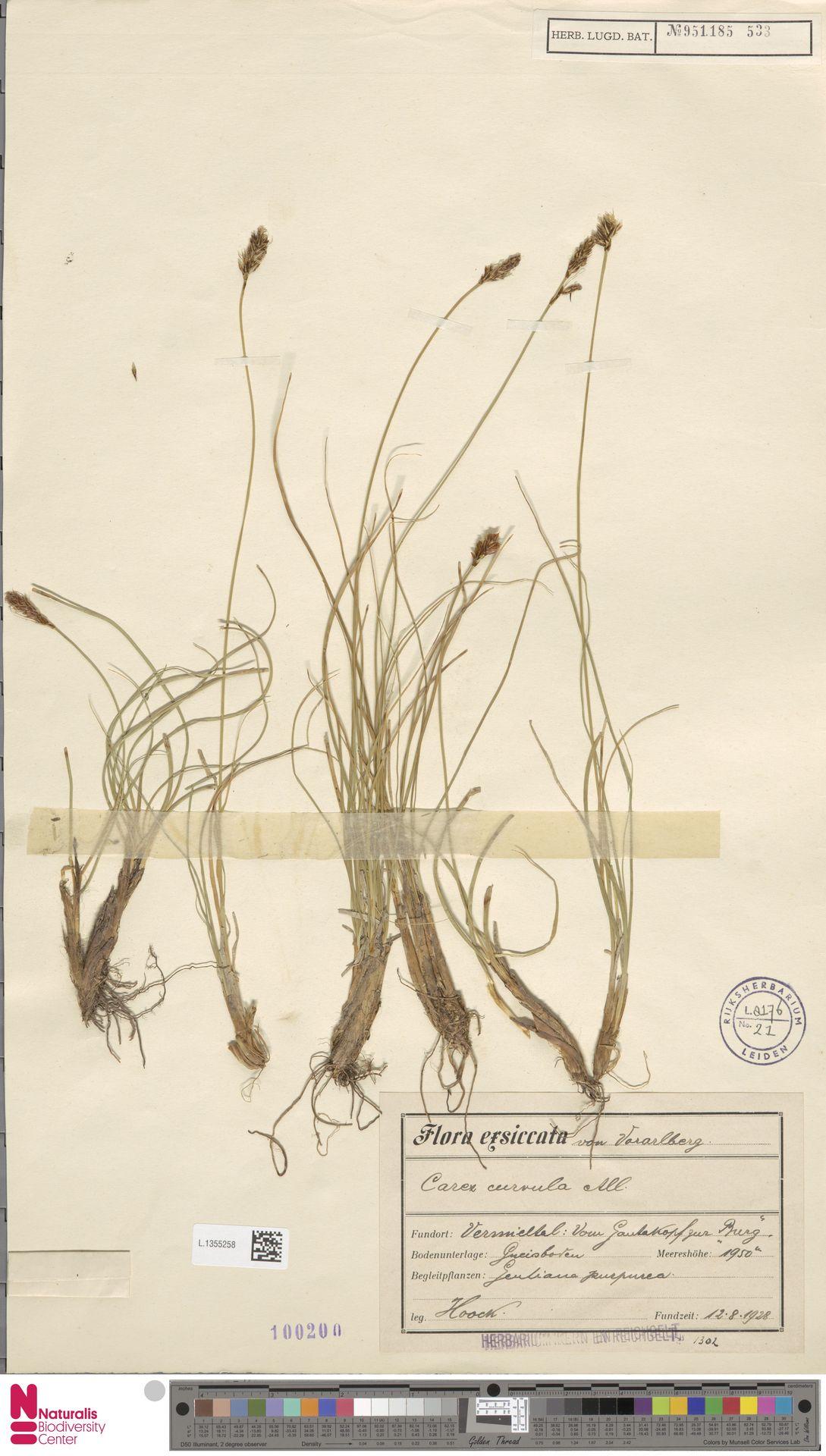 L.1355258 | Carex curvula All.
