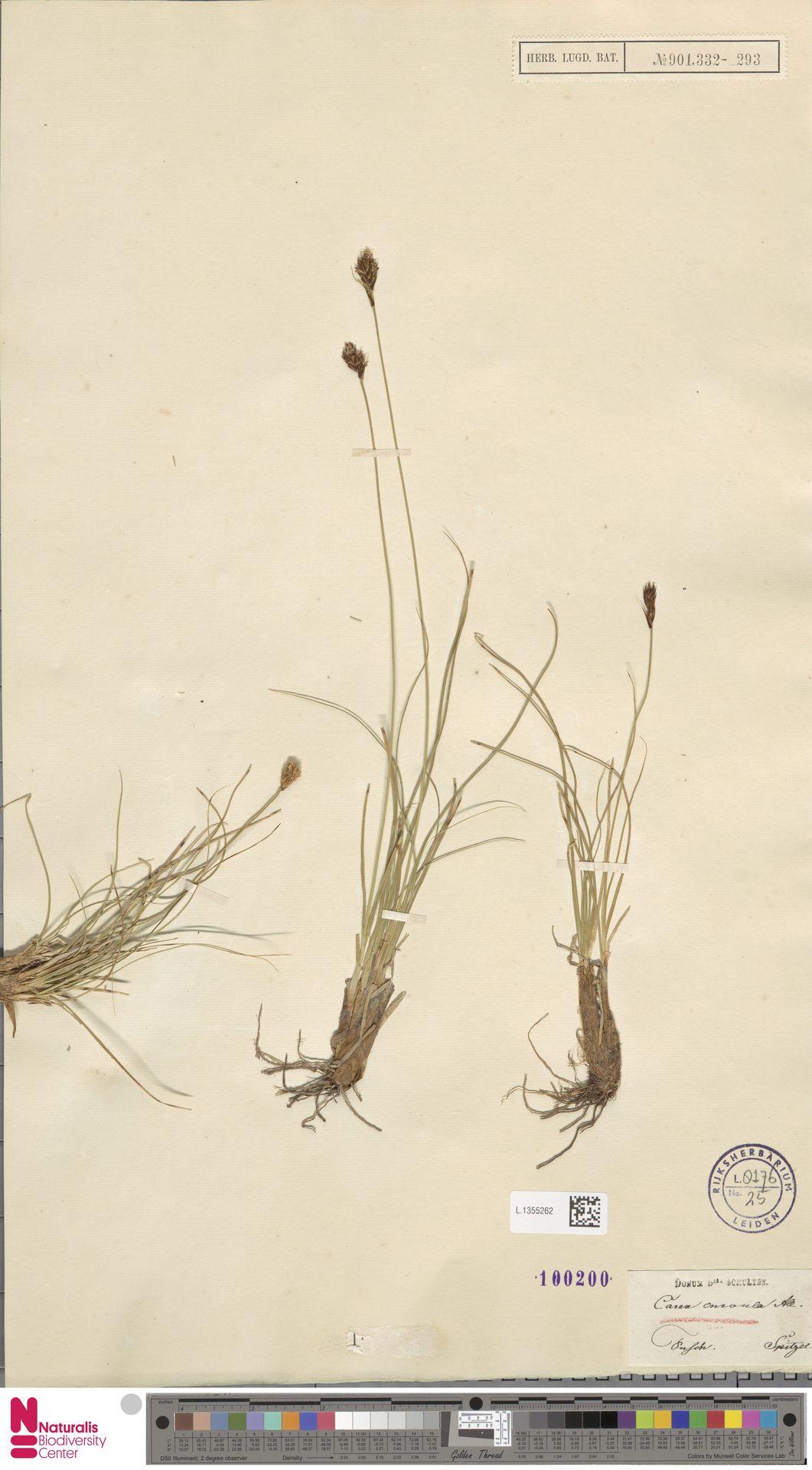 L.1355262 | Carex curvula All.