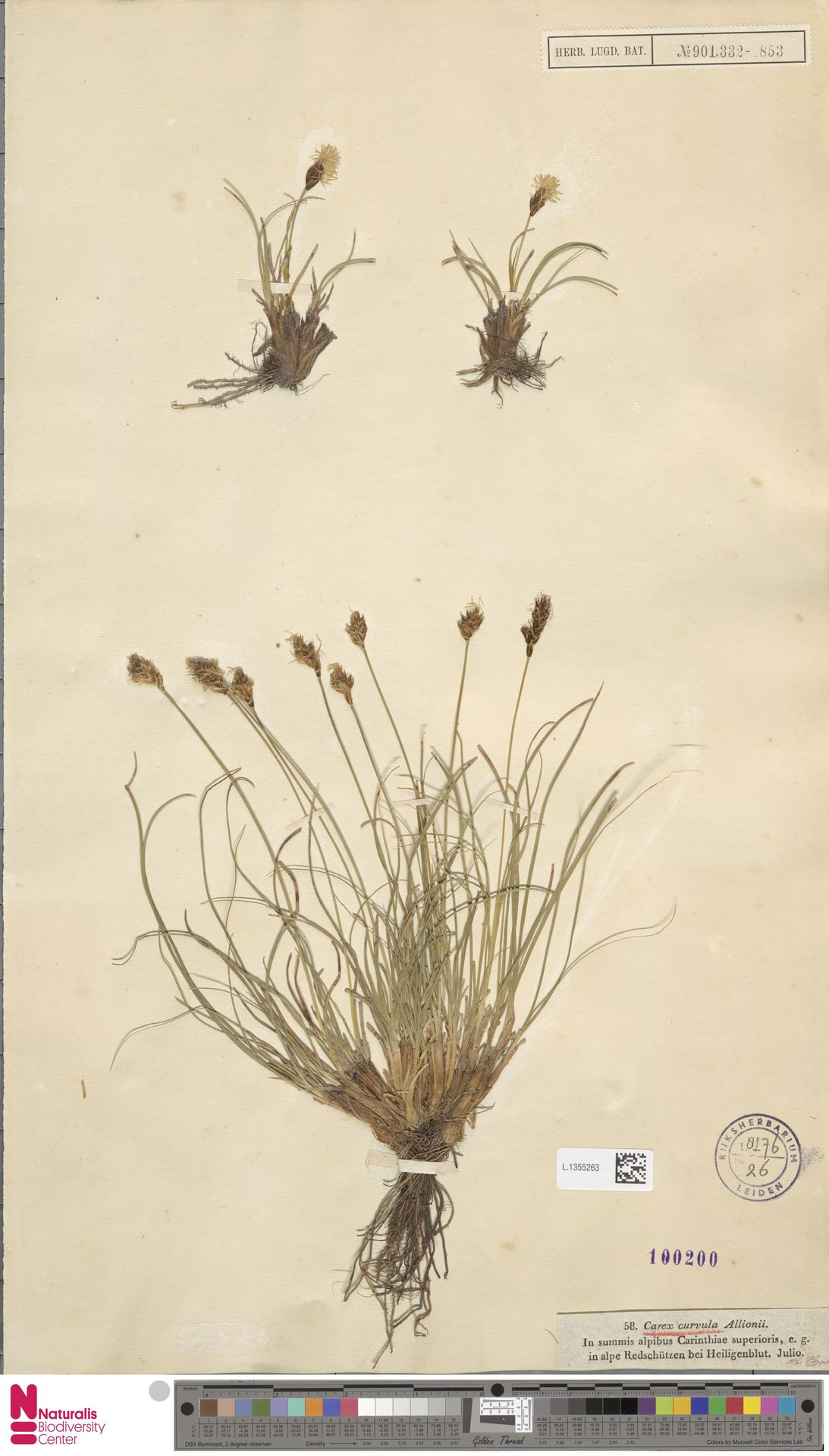 L.1355263 | Carex curvula All.
