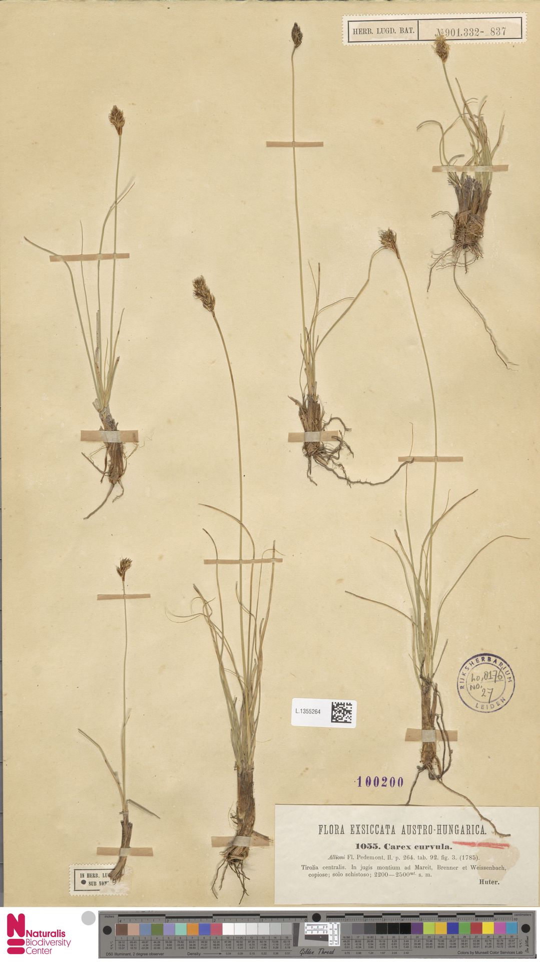 L.1355264 | Carex curvula All.