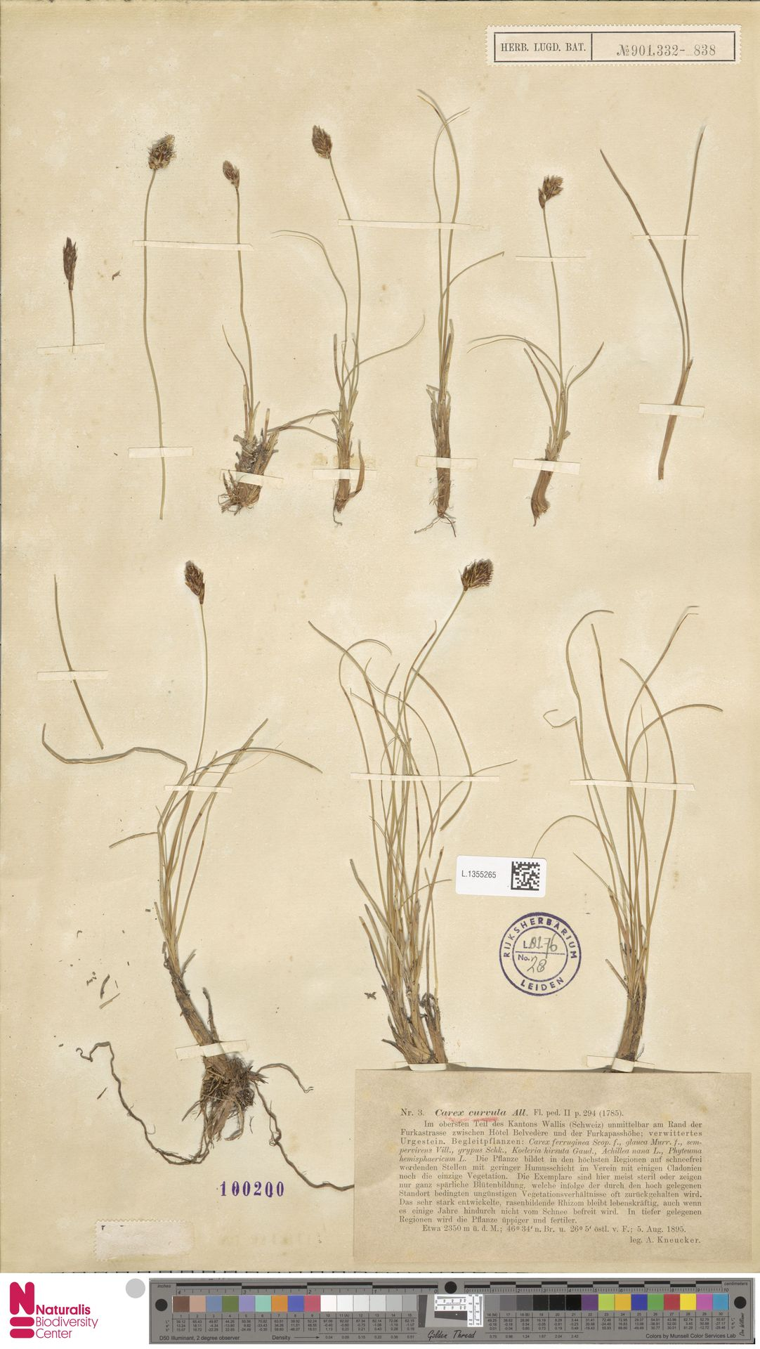 L.1355265 | Carex curvula All.