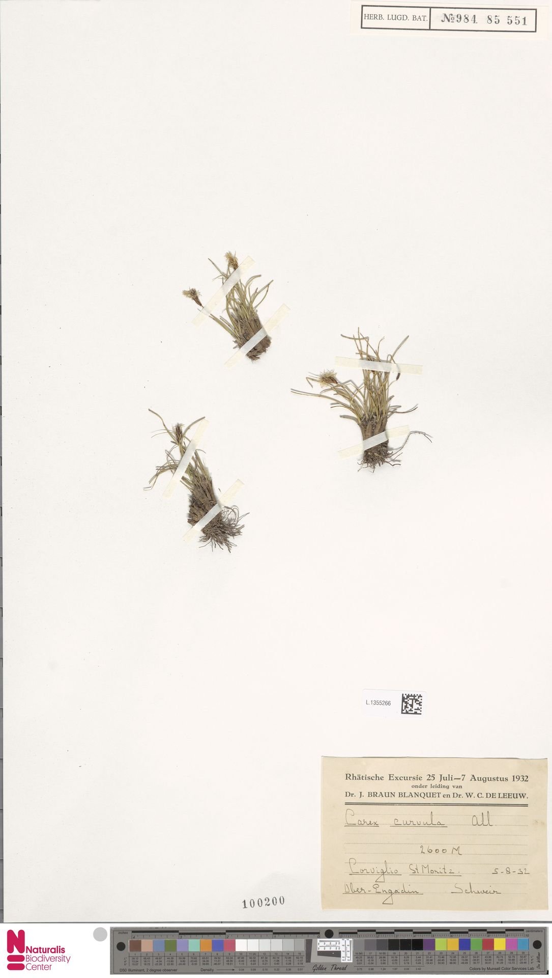 L.1355266 | Carex curvula All.