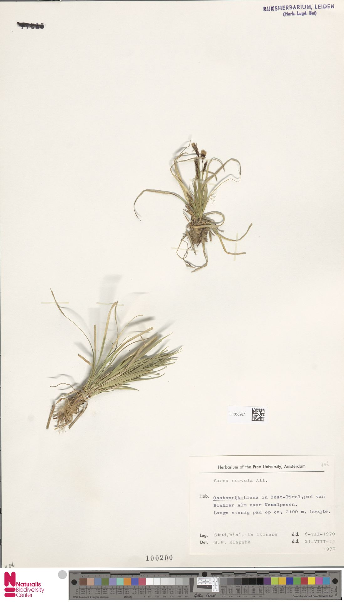 L.1355267 | Carex curvula All.