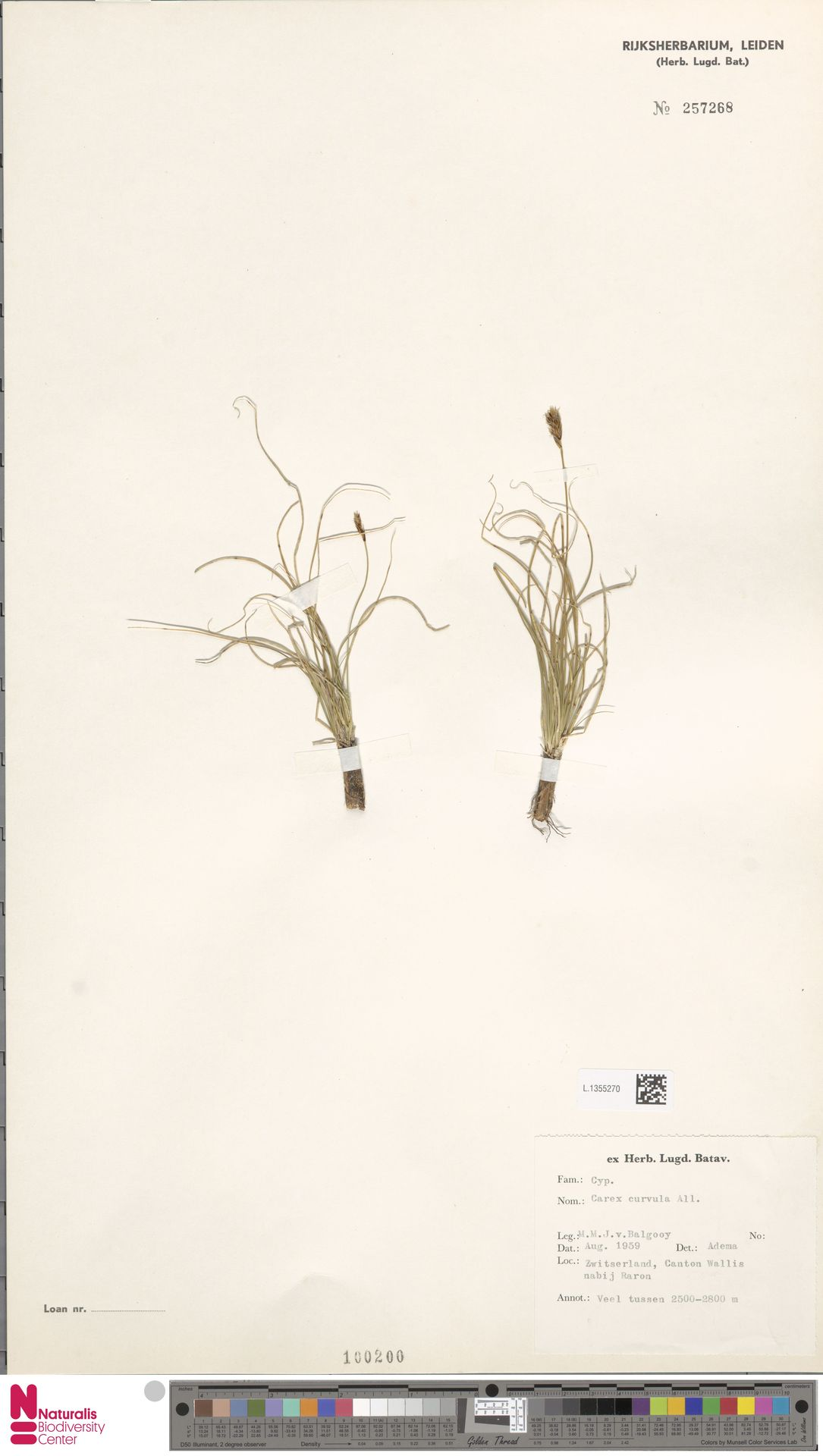 L.1355270 | Carex curvula All.