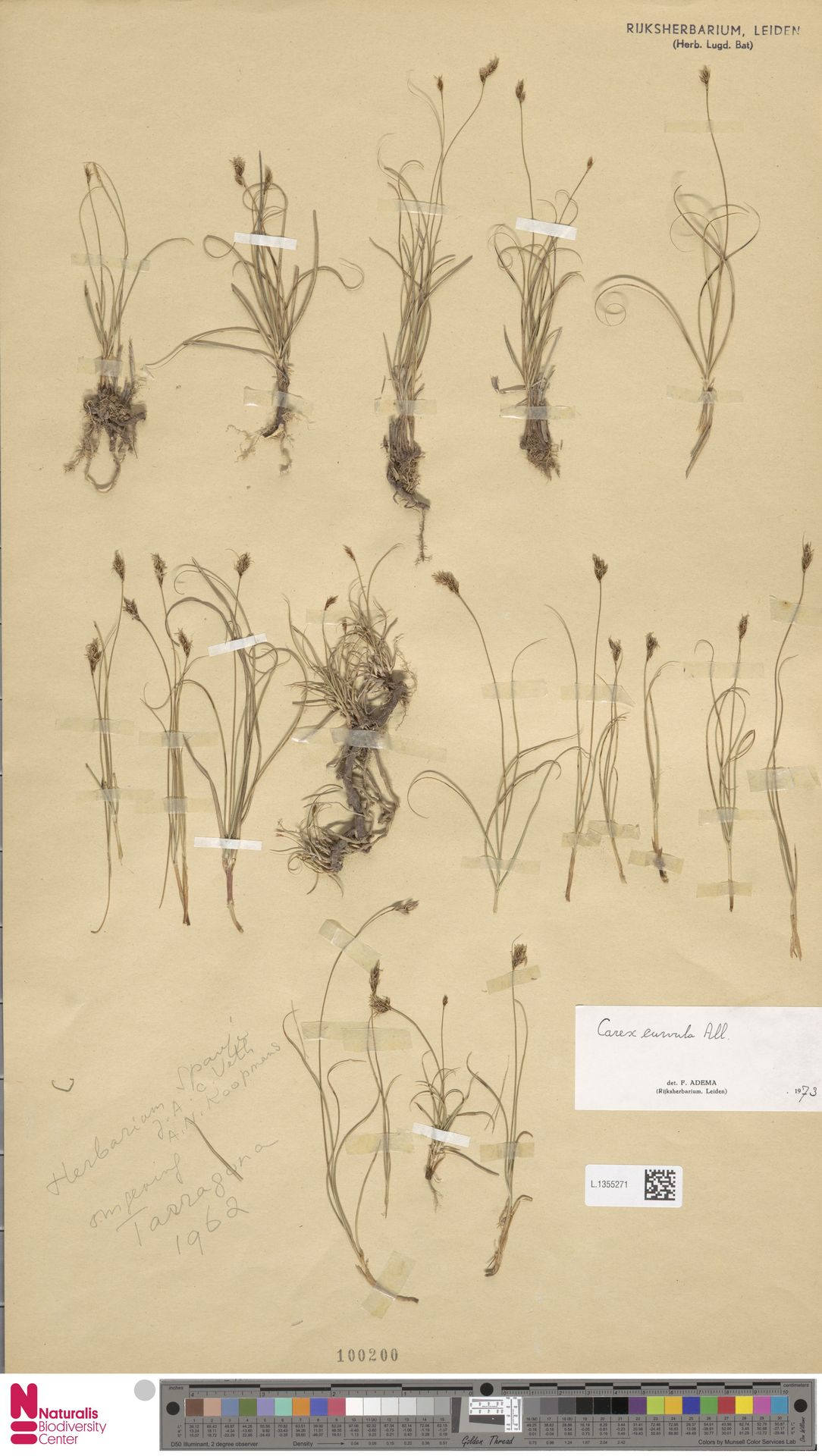 L.1355271 | Carex curvula All.
