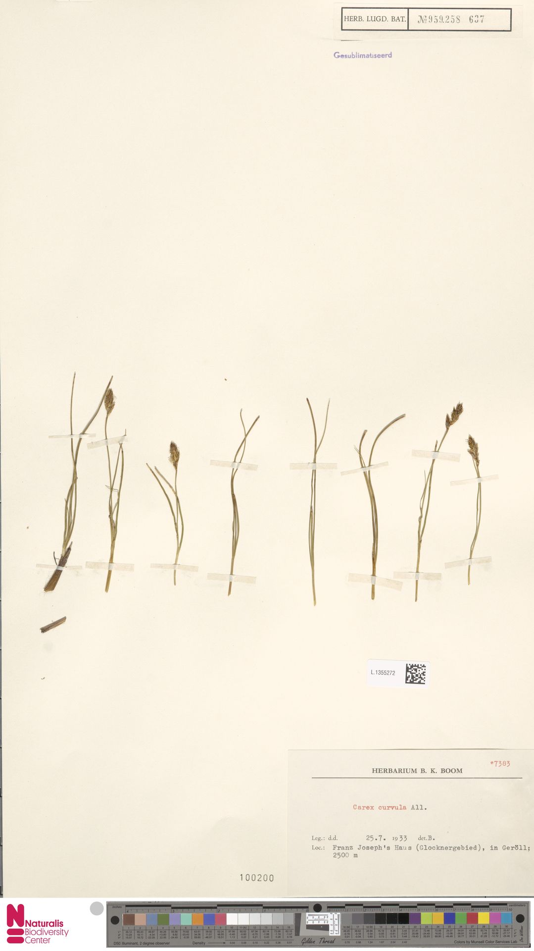 L.1355272 | Carex curvula All.
