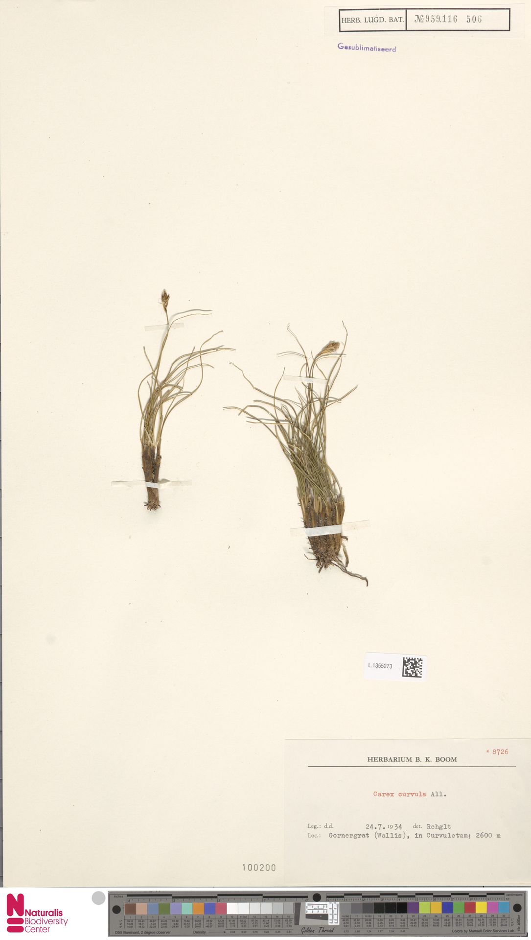 L.1355273 | Carex curvula All.