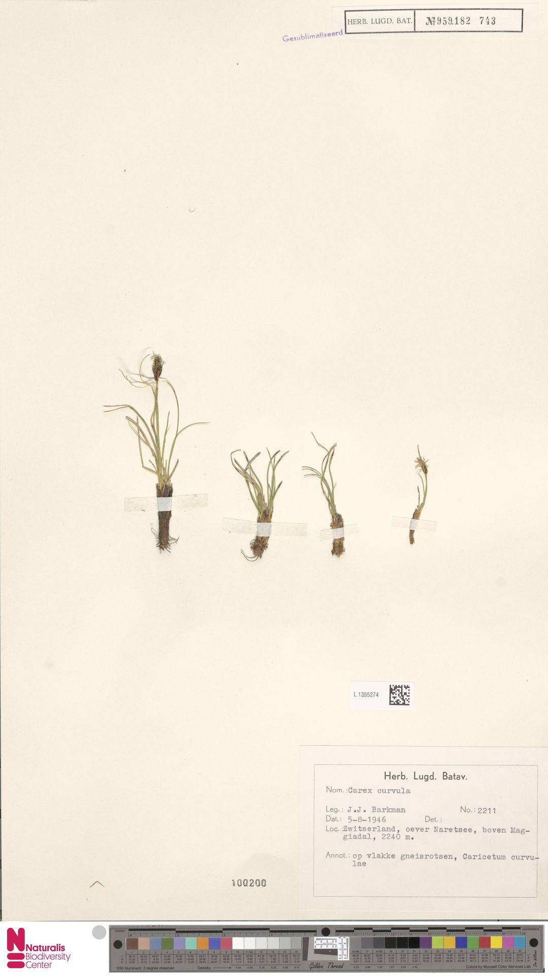 L.1355274 | Carex curvula All.