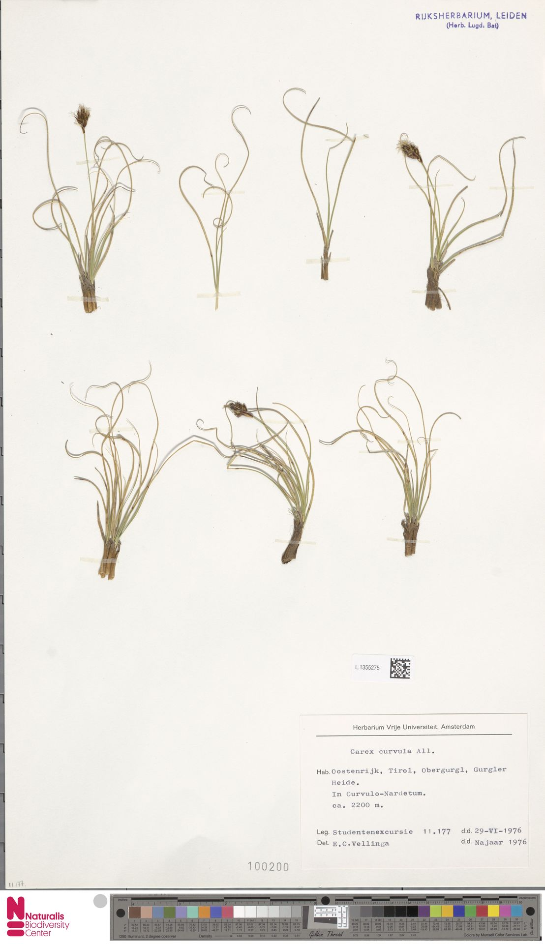 L.1355275 | Carex curvula All.