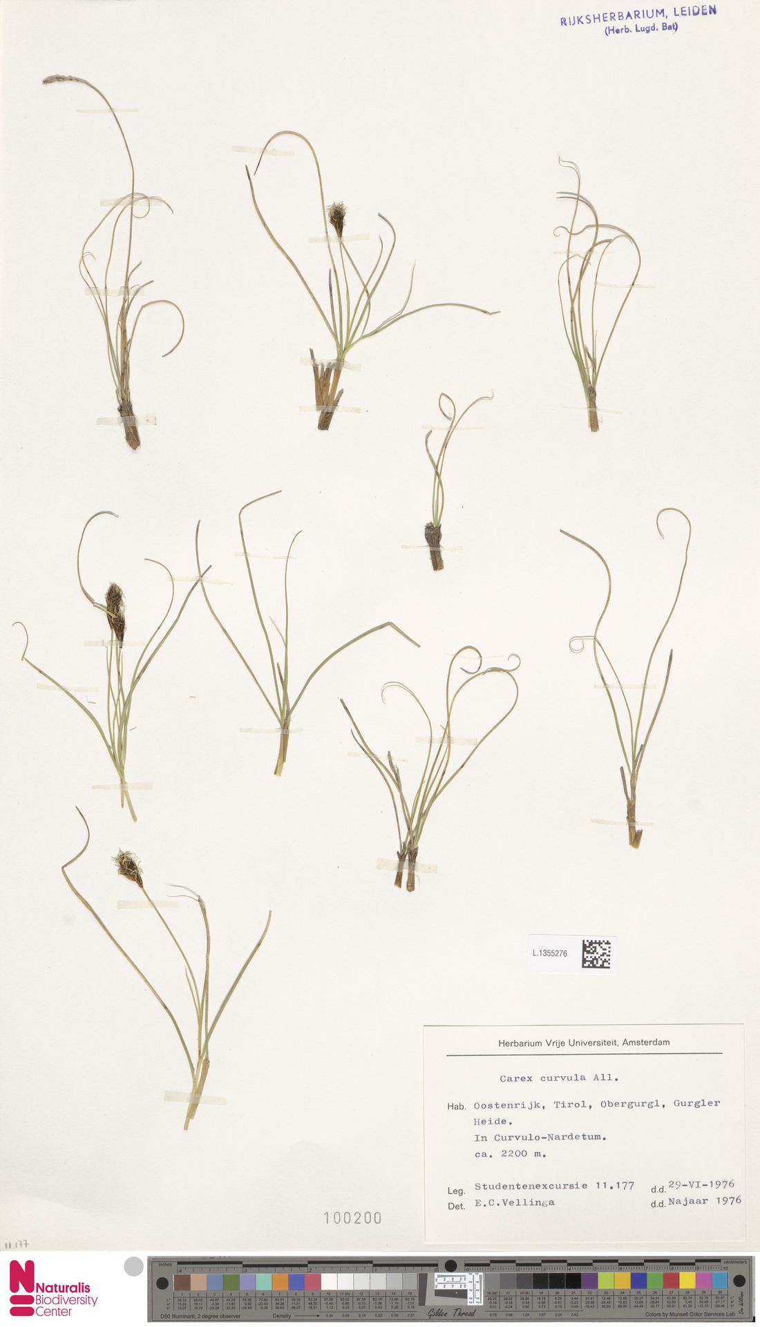 L.1355276 | Carex curvula All.