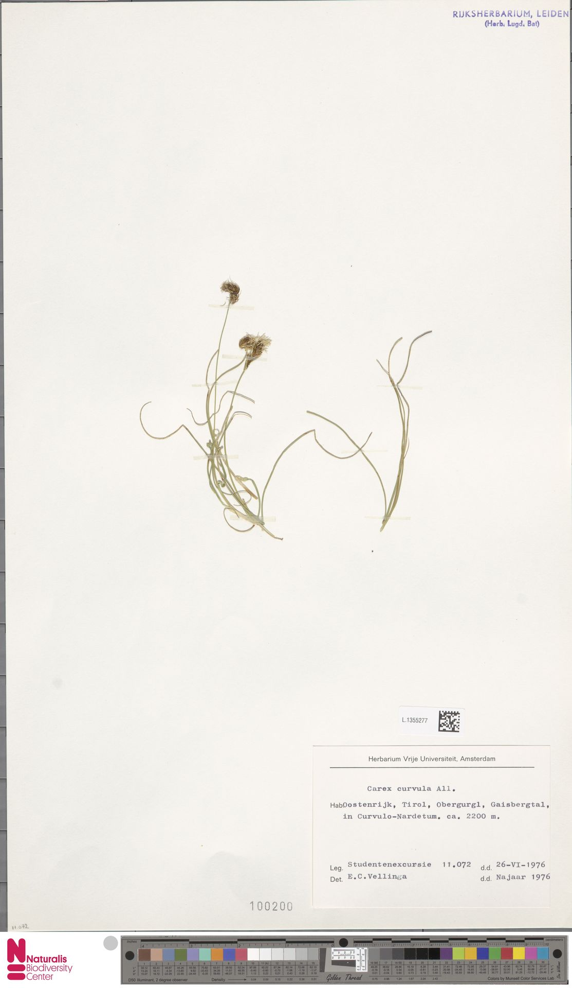 L.1355277 | Carex curvula All.