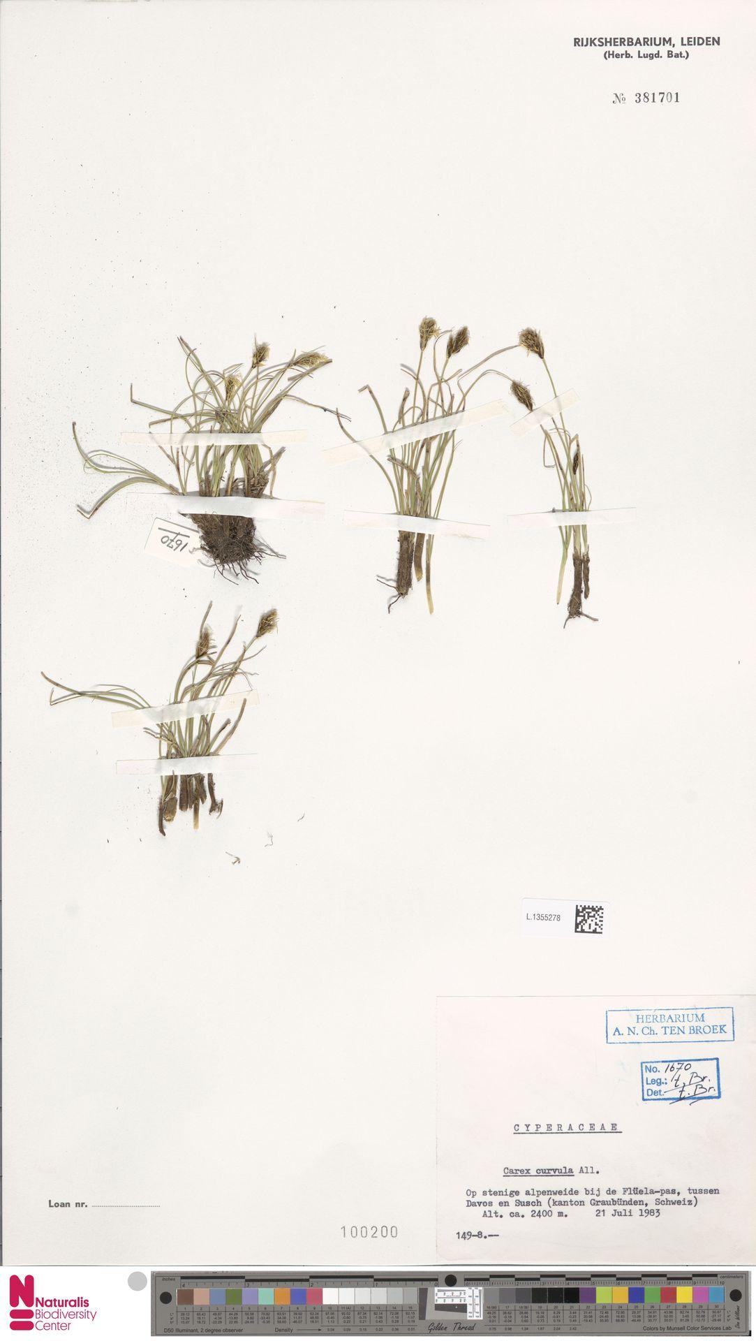 L.1355278 | Carex curvula All.