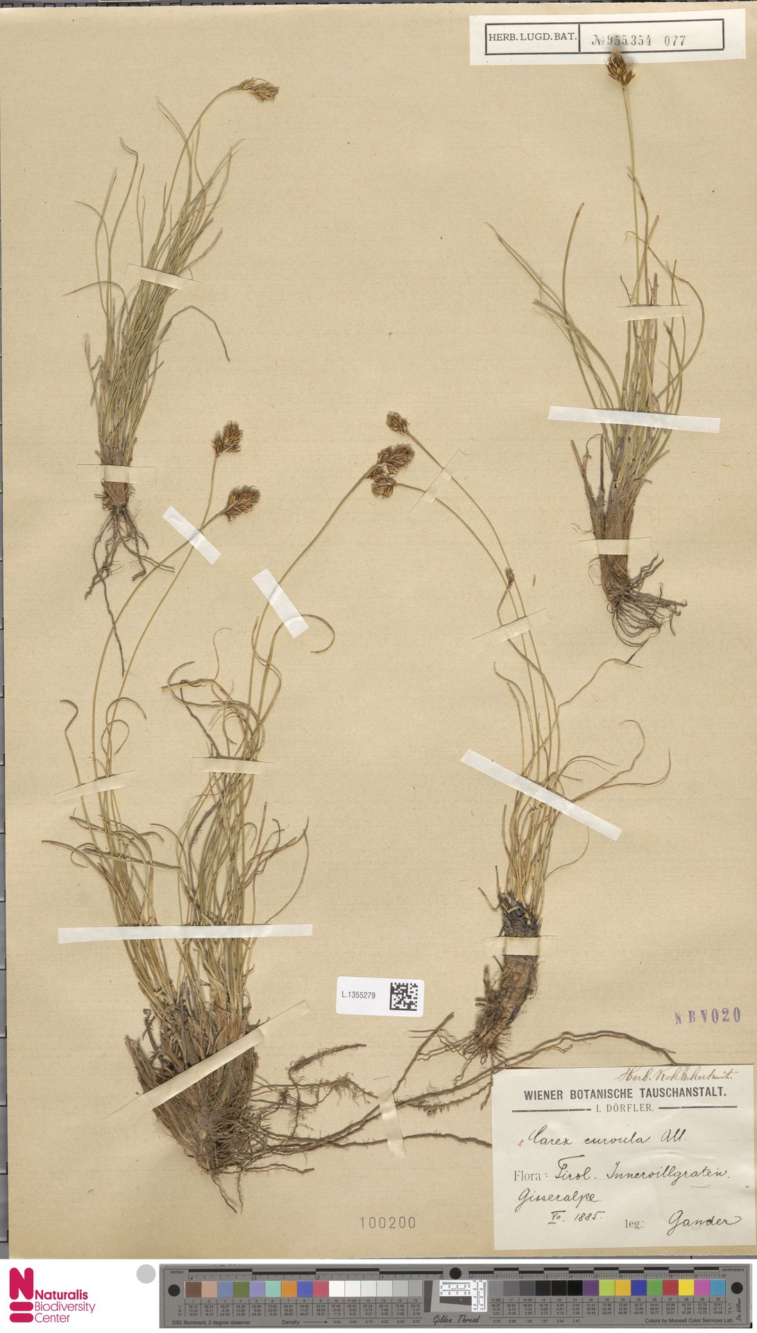 L.1355279 | Carex curvula All.