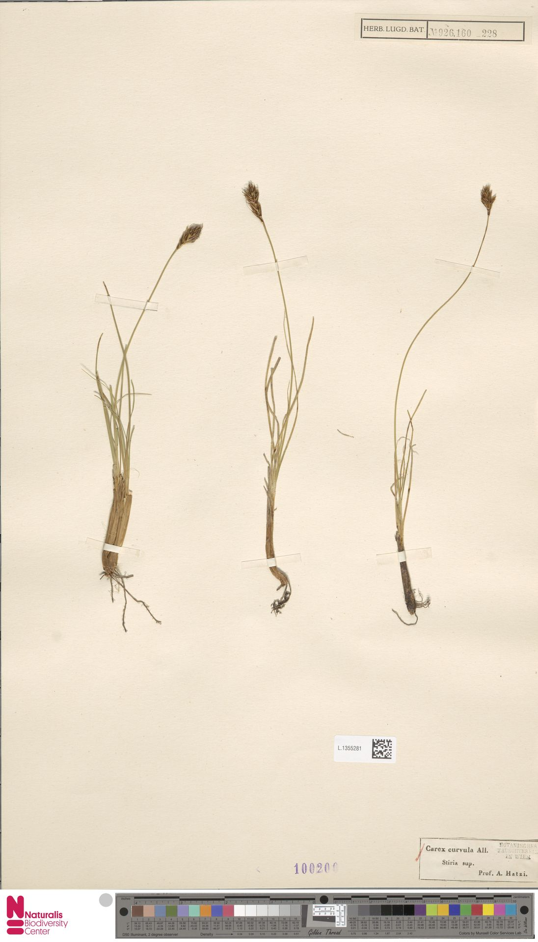 L.1355281 | Carex curvula All.