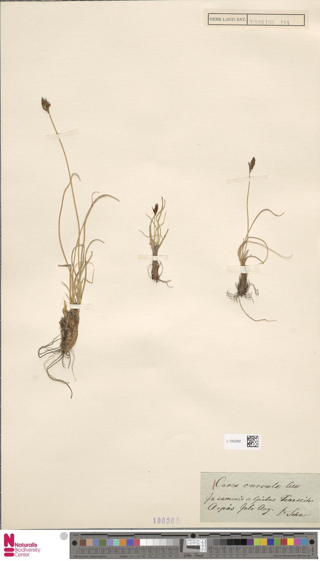 L.1355282 | Carex curvula All.