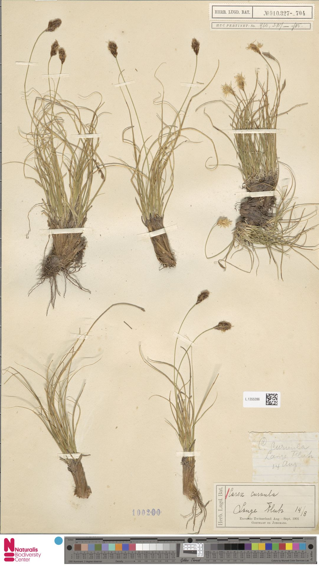 L.1355286 | Carex curvula All.