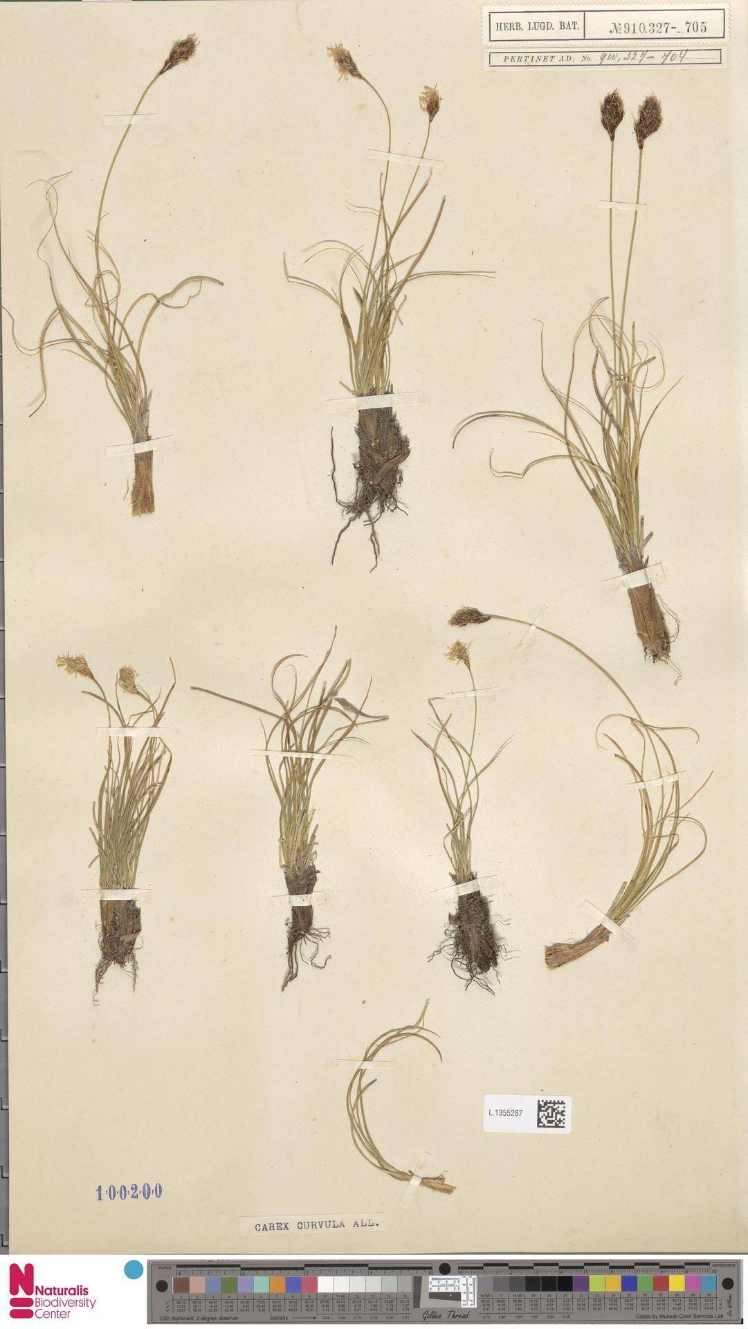 L.1355287 | Carex curvula All.