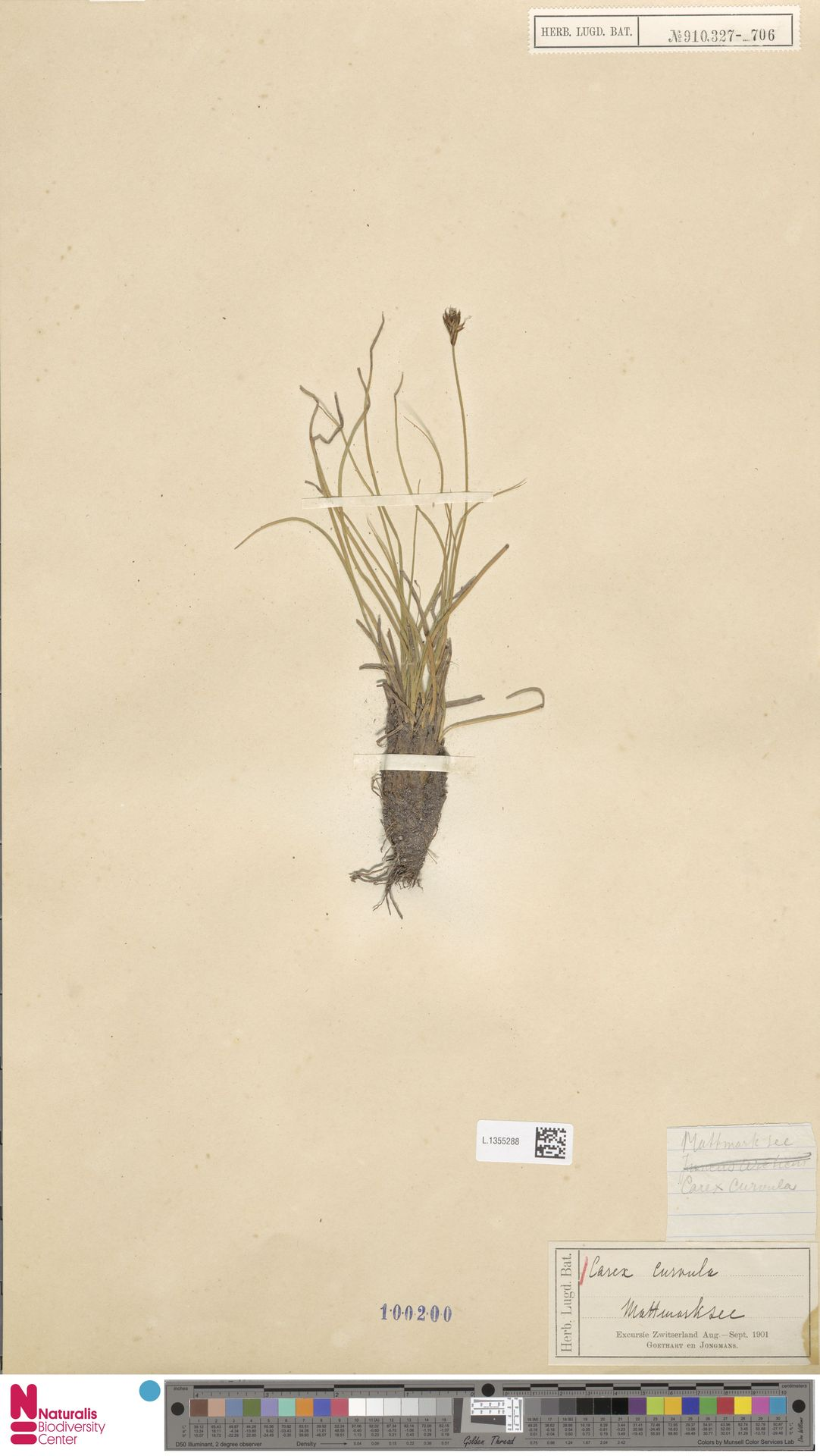 L.1355288 | Carex curvula All.