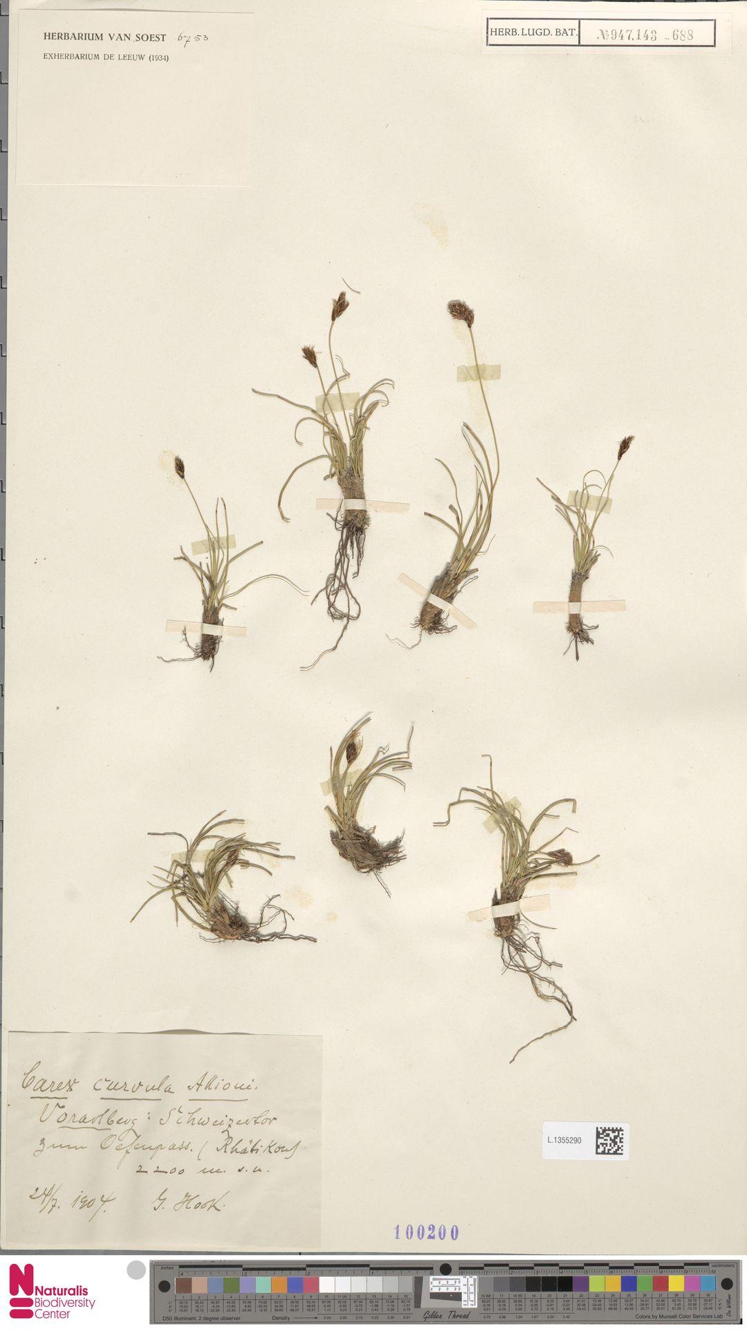 L.1355290 | Carex curvula All.
