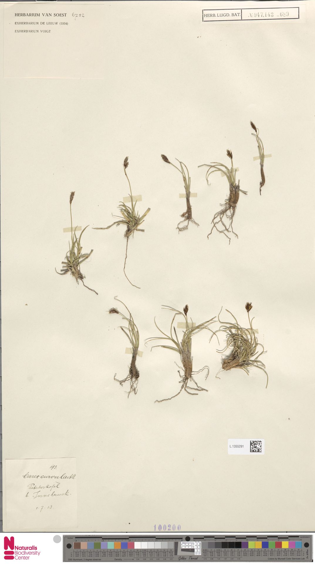 L.1355291 | Carex curvula All.