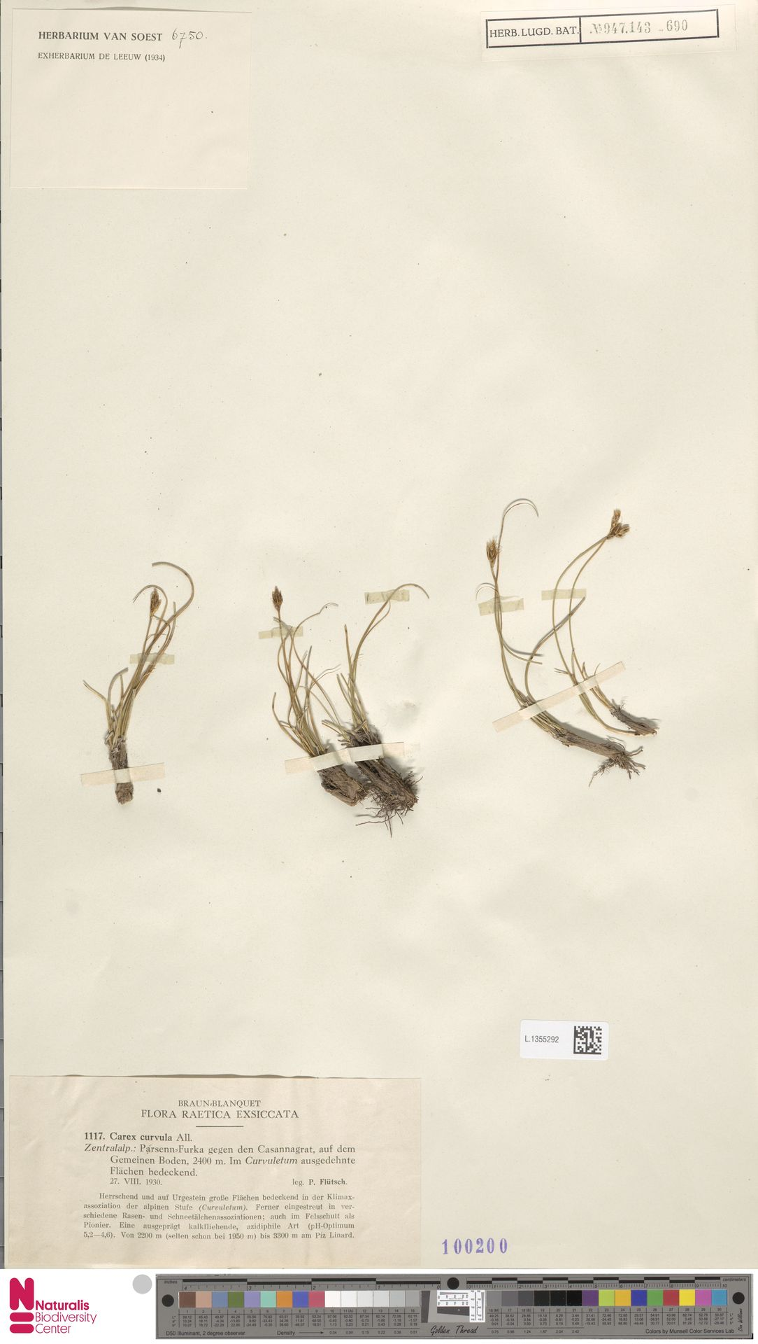L.1355292 | Carex curvula All.