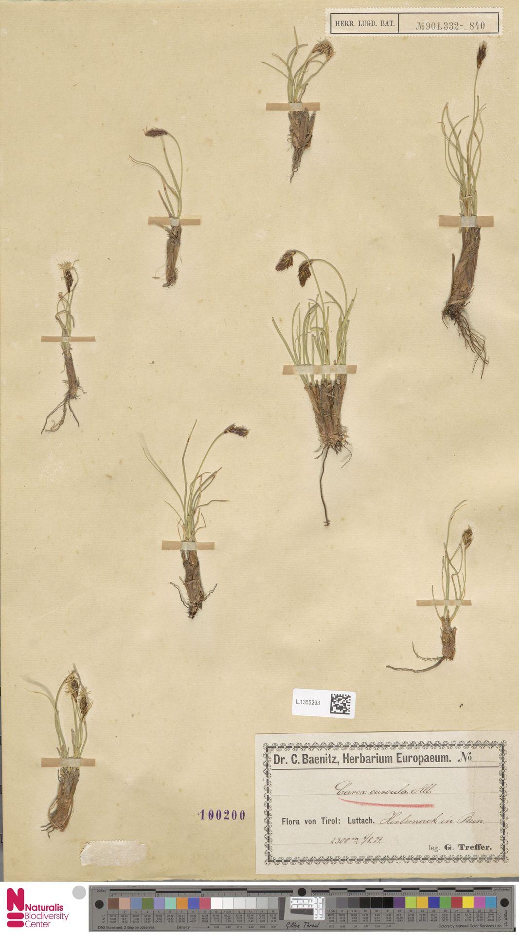 L.1355293 | Carex curvula All.