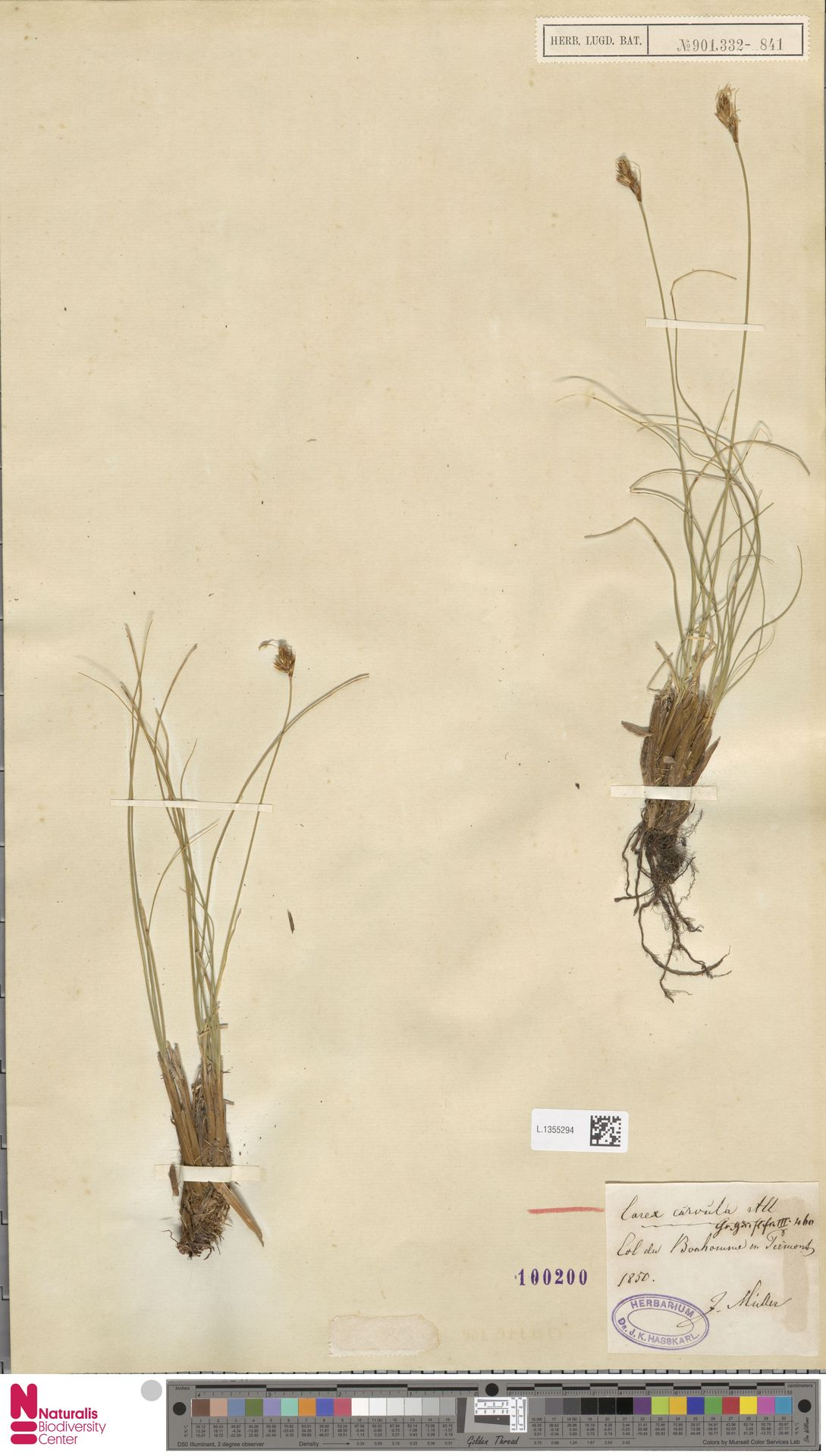 L.1355294 | Carex curvula All.
