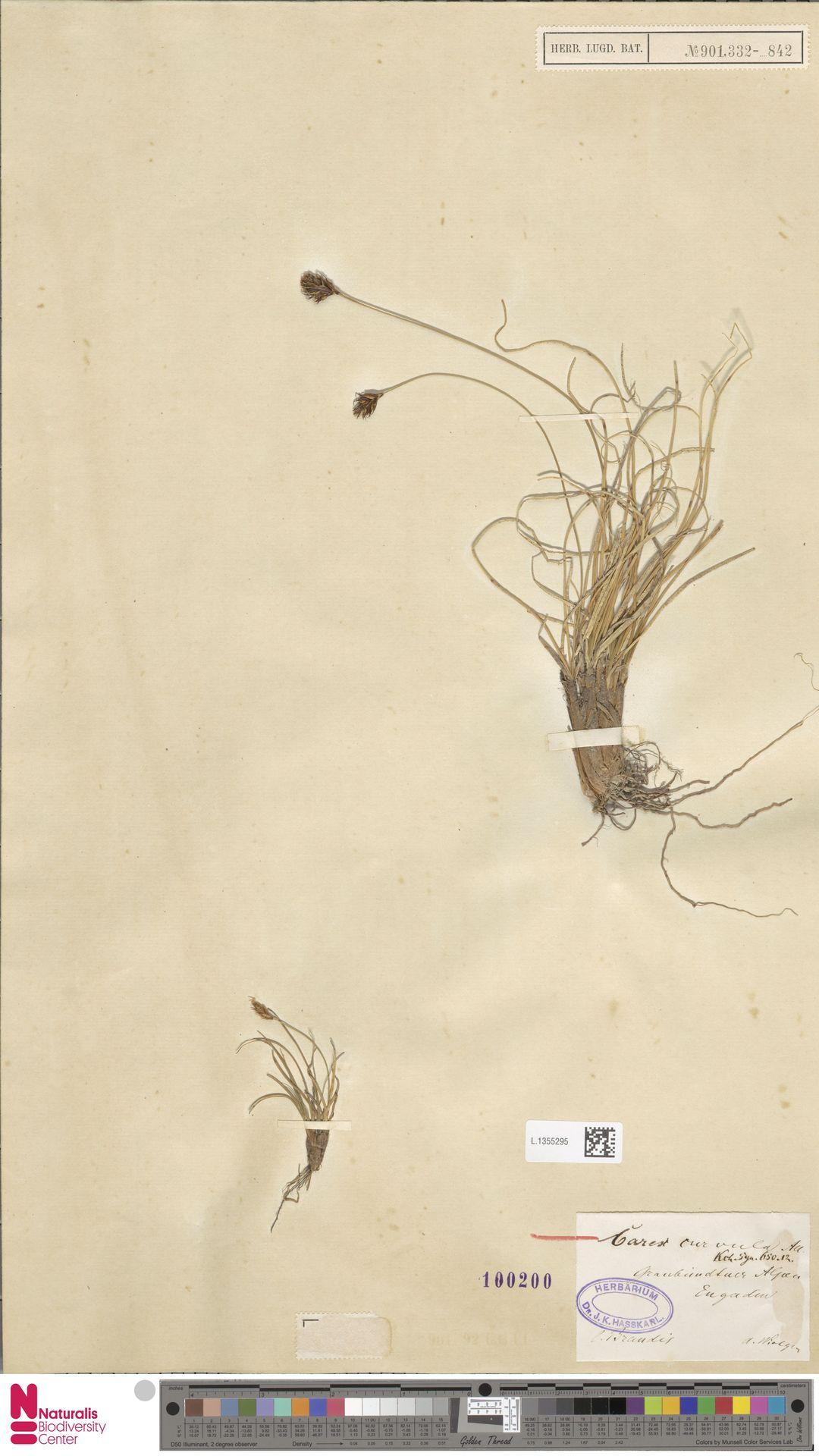 L.1355295 | Carex curvula All.