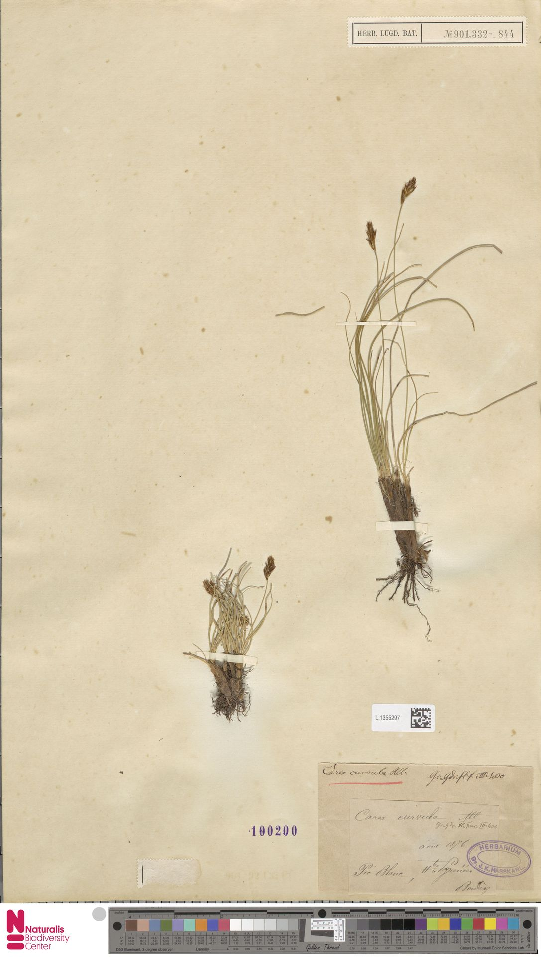 L.1355297 | Carex curvula All.