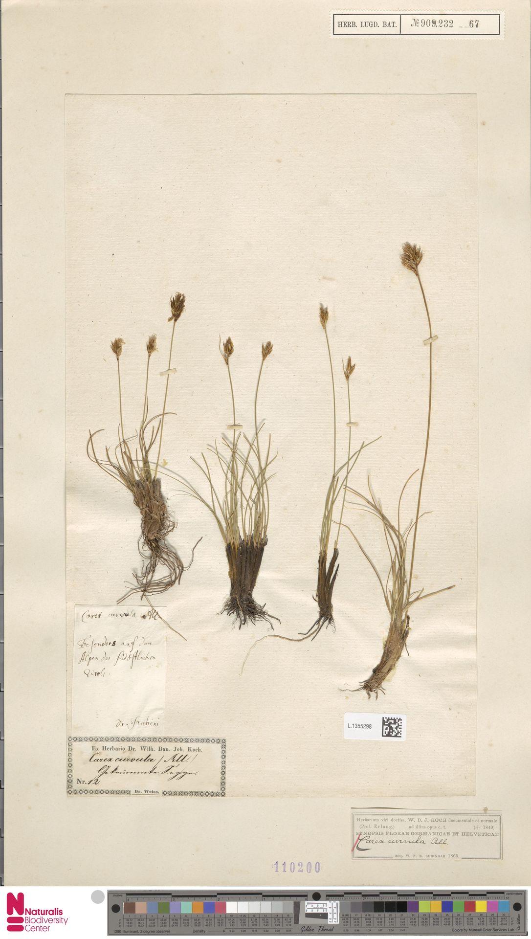 L.1355298 | Carex curvula All.