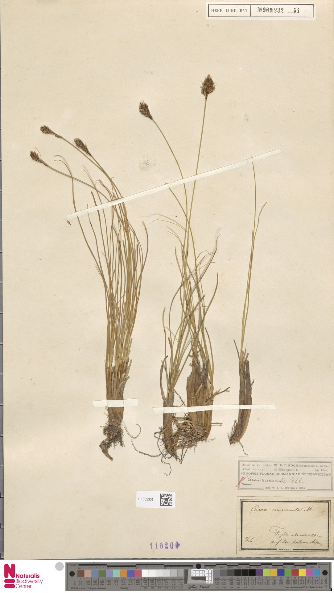 L.1355301 | Carex curvula All.